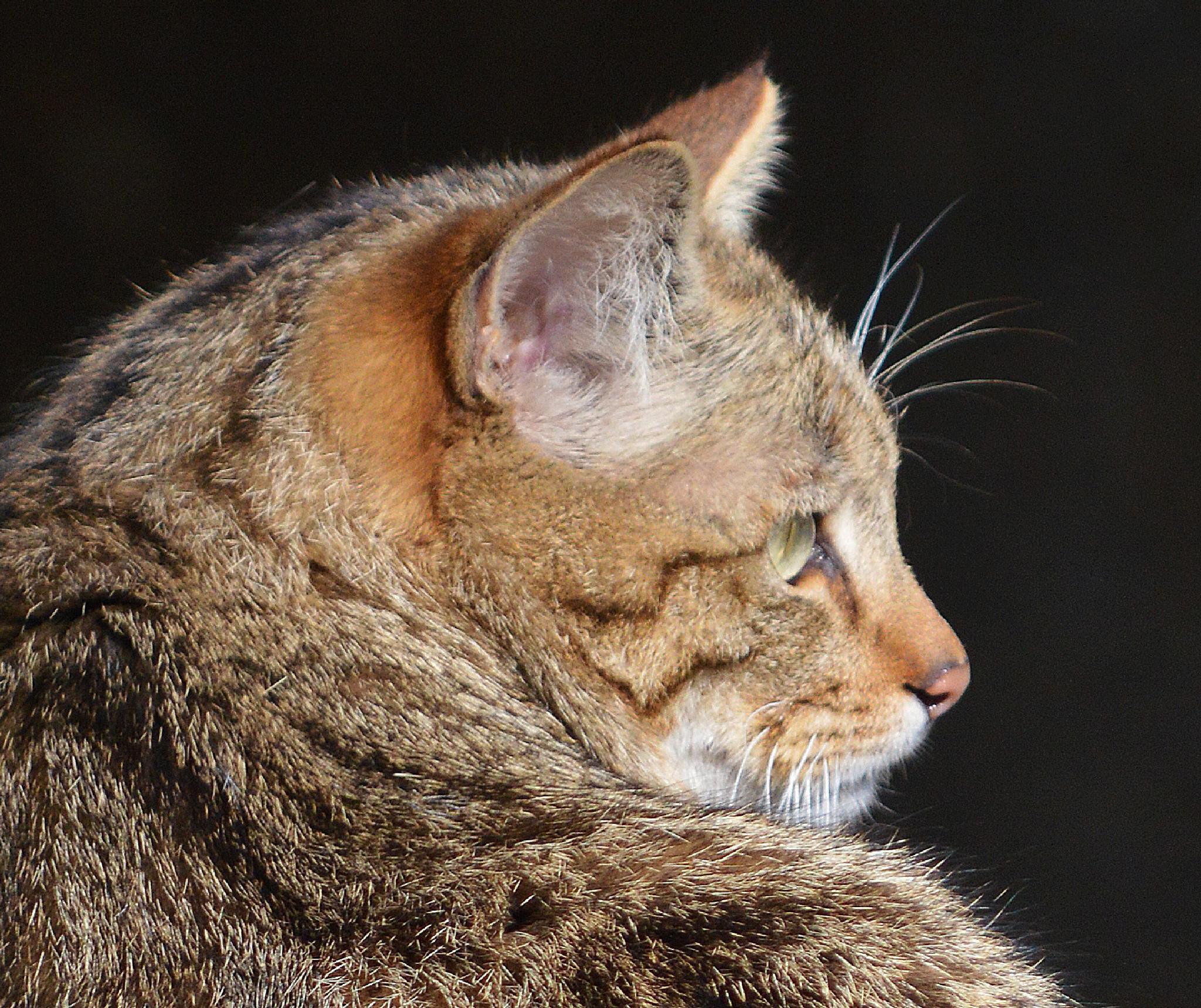 Wildcat 3 by Jean-Claude Monnerat