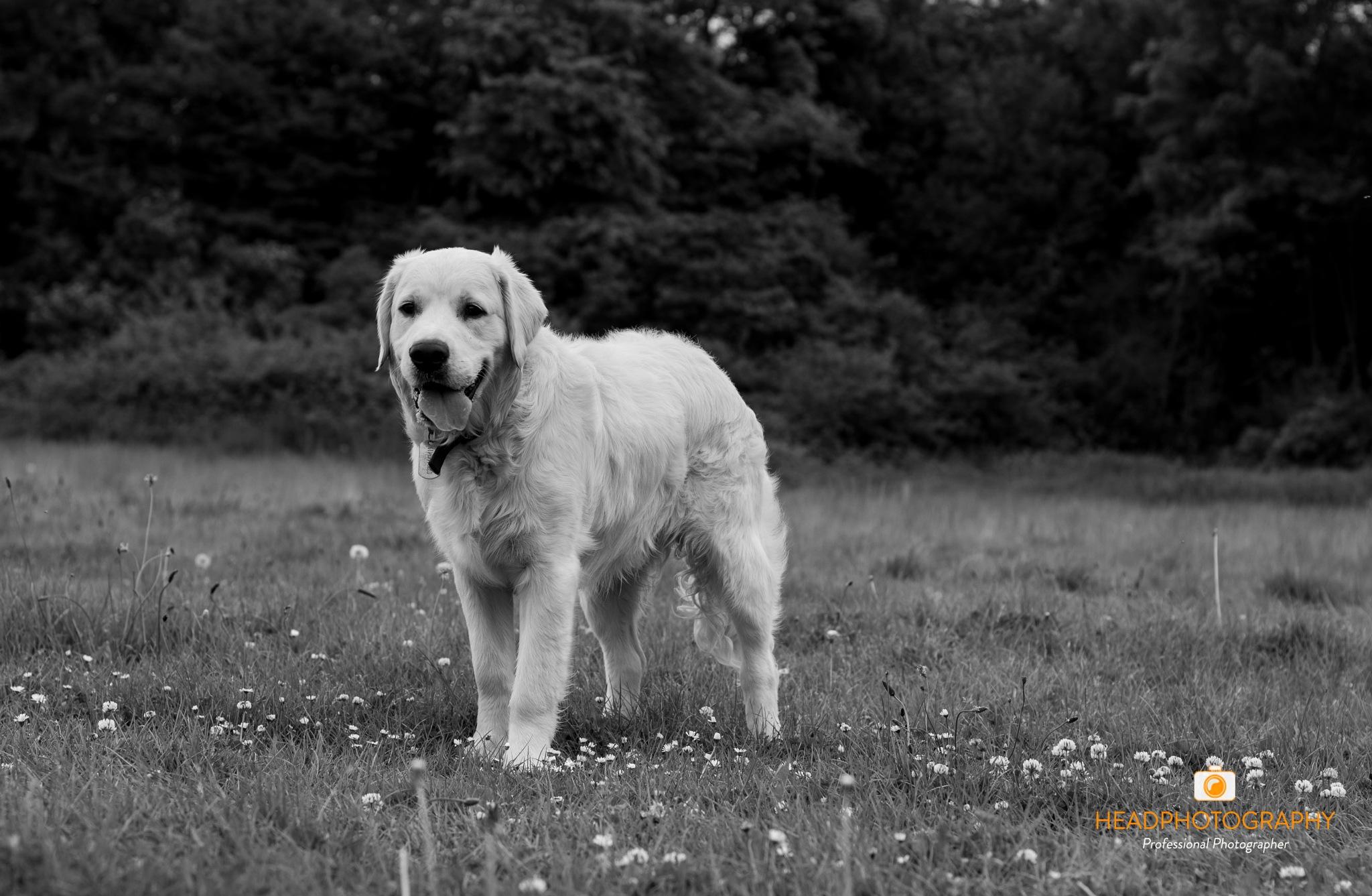 dog portrait  by Craig Head