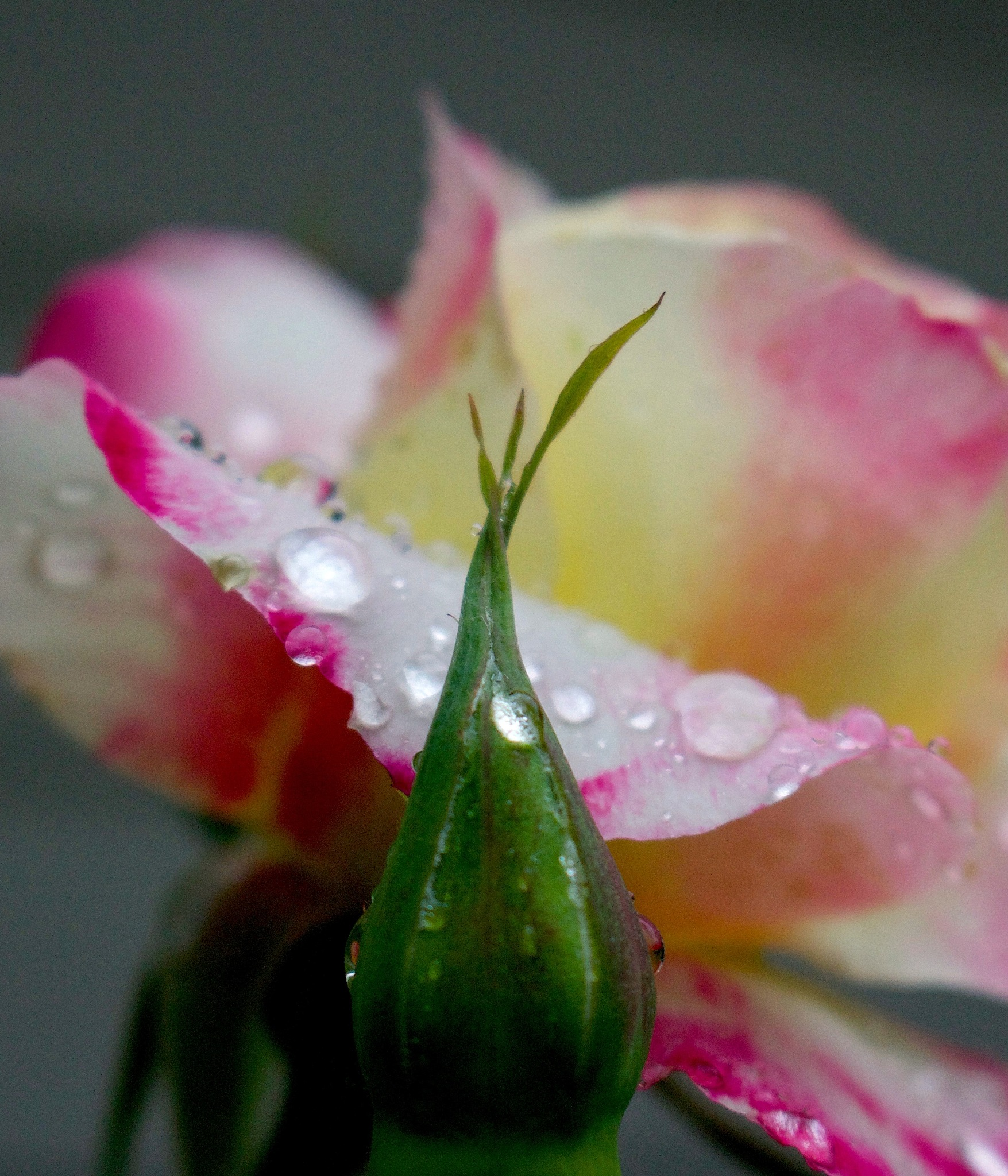 Raindrops on Roses by Emily Polis Gibson