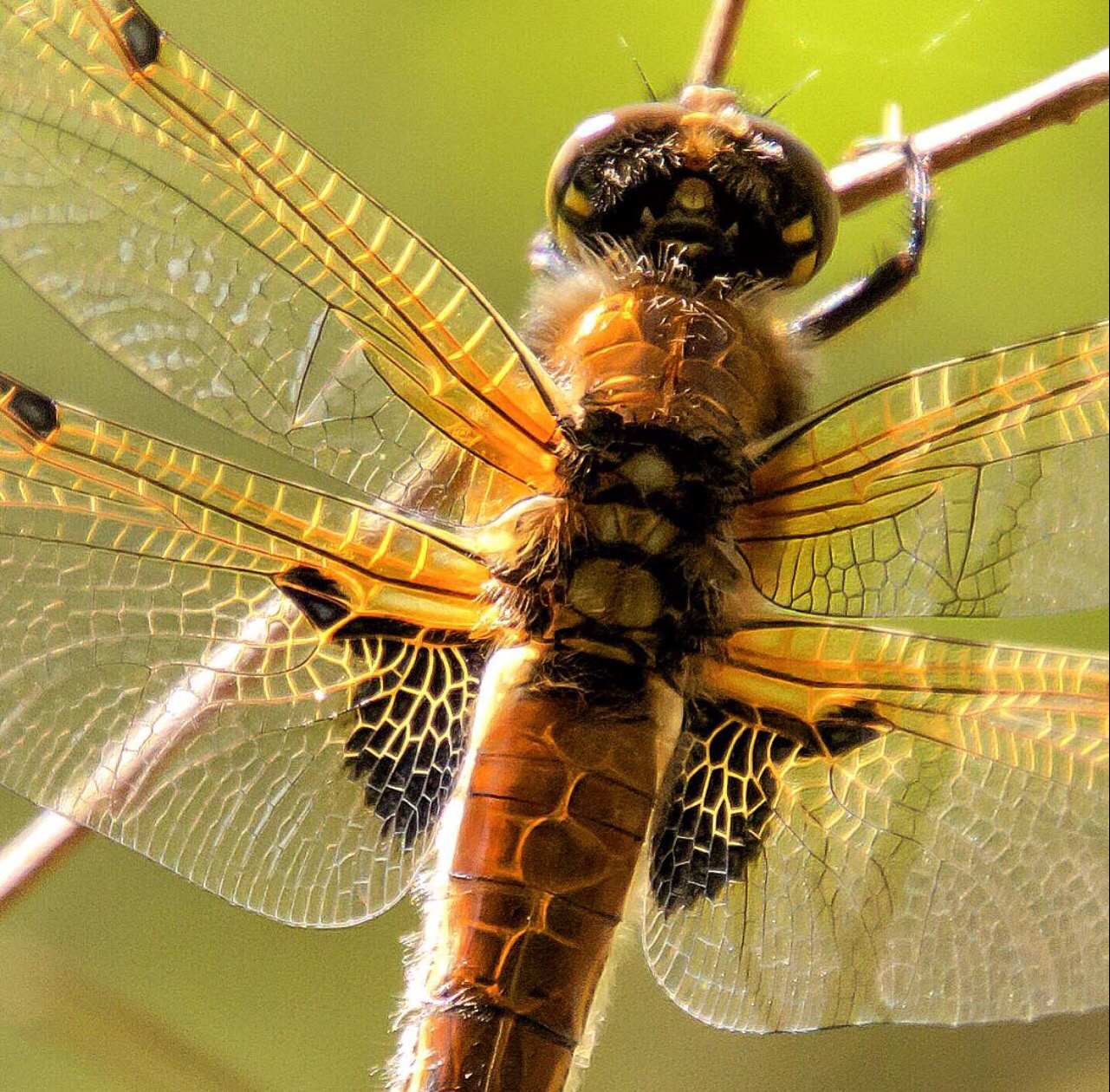 Four spot dragonfly (cropped) by fvantriest
