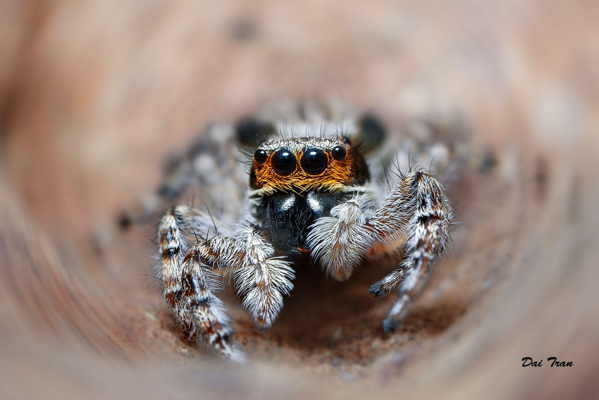 Jumping spider by Dai Tran