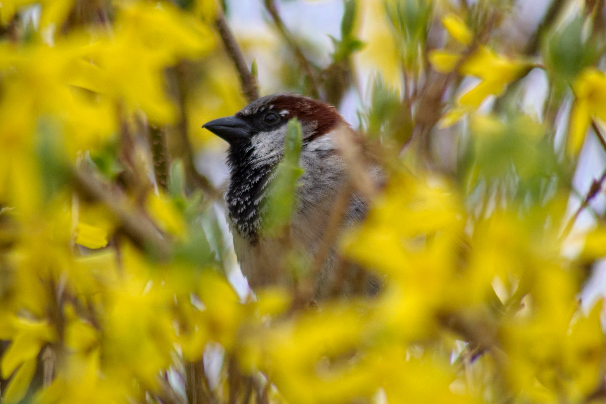House sparrow in forsythia by Starsphinx