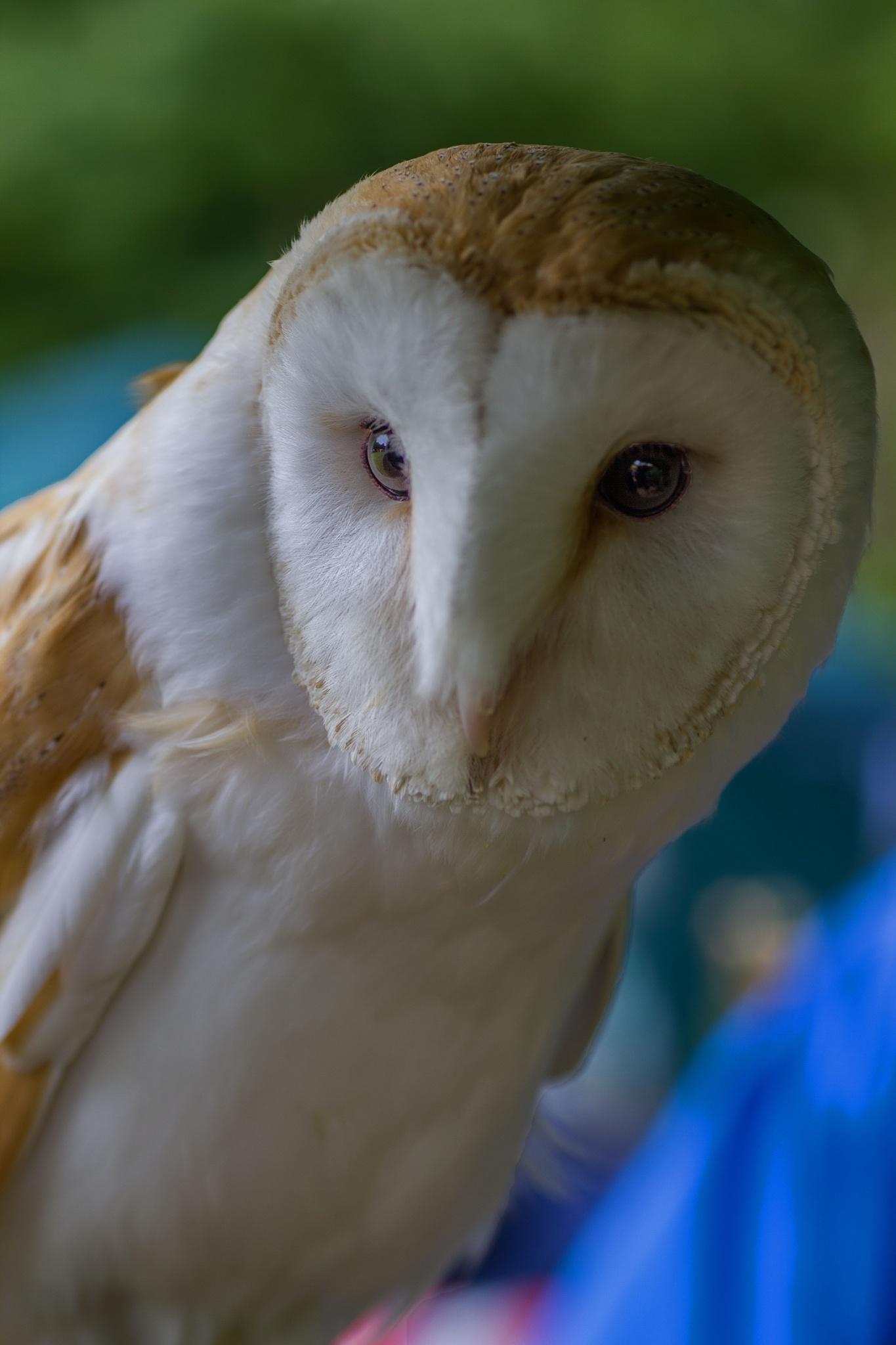 Little Owl by Sam Loughran