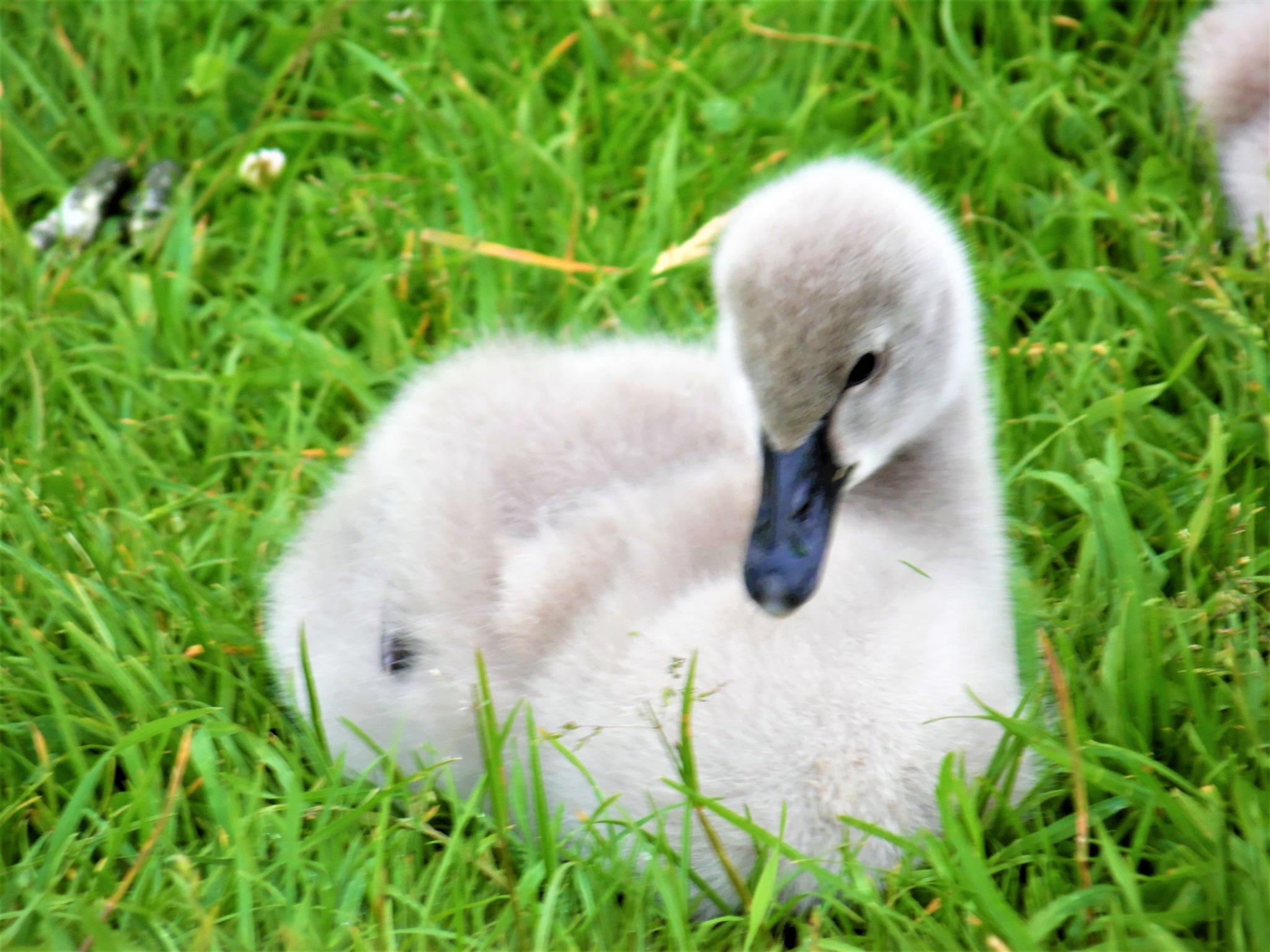 Black swan signet by Sandra Wright