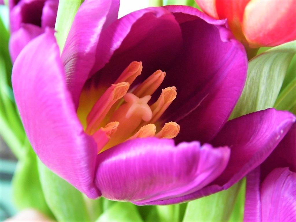 Purple Tulip by Sandra Wright