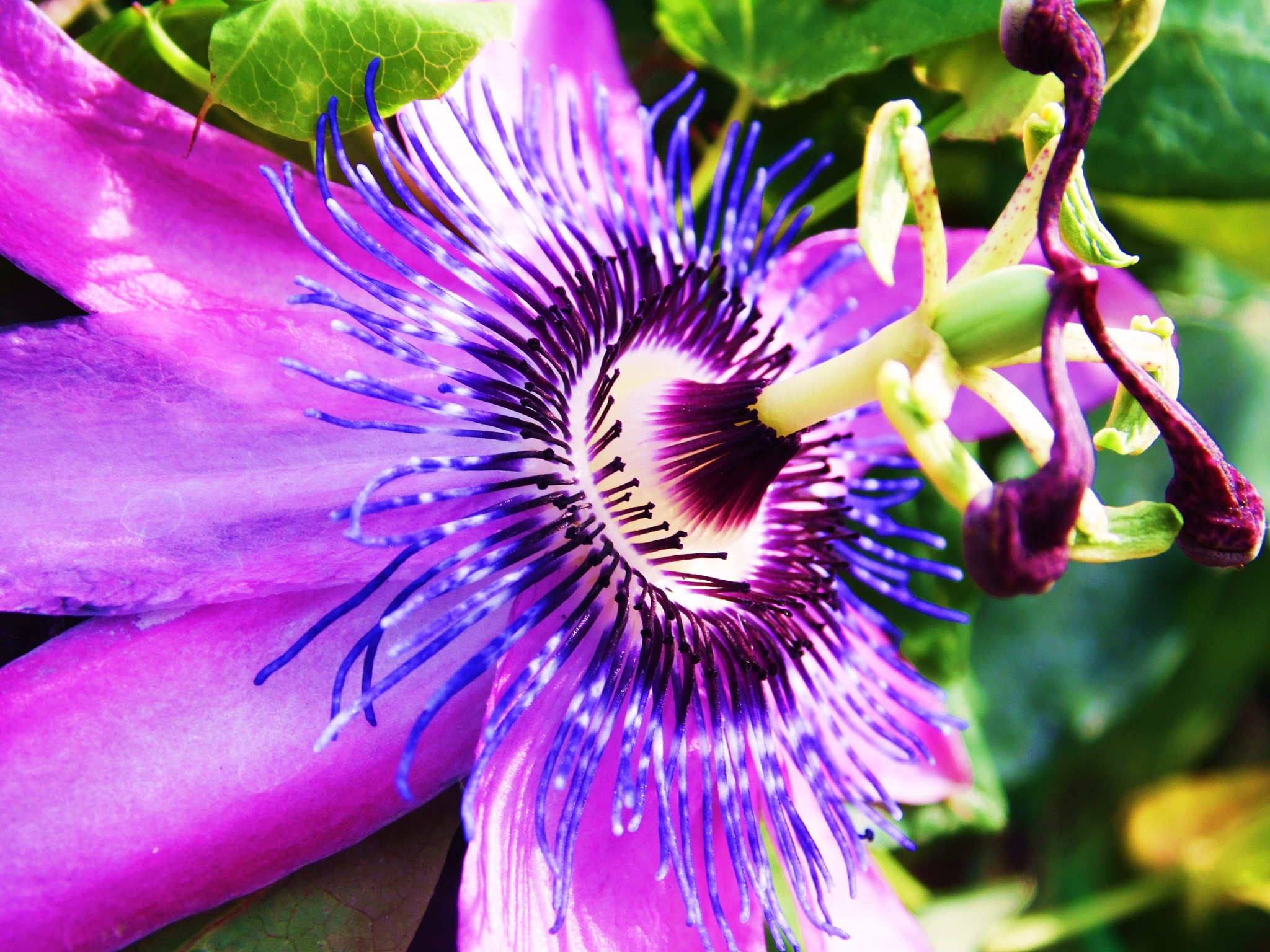 Passion flower by Sandra Wright