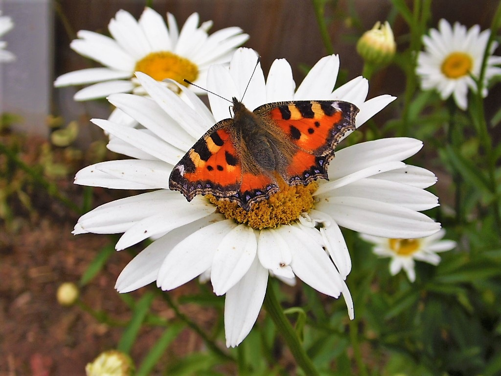 Tortoiseshell butterfly on daisy (2) by Sandra Wright