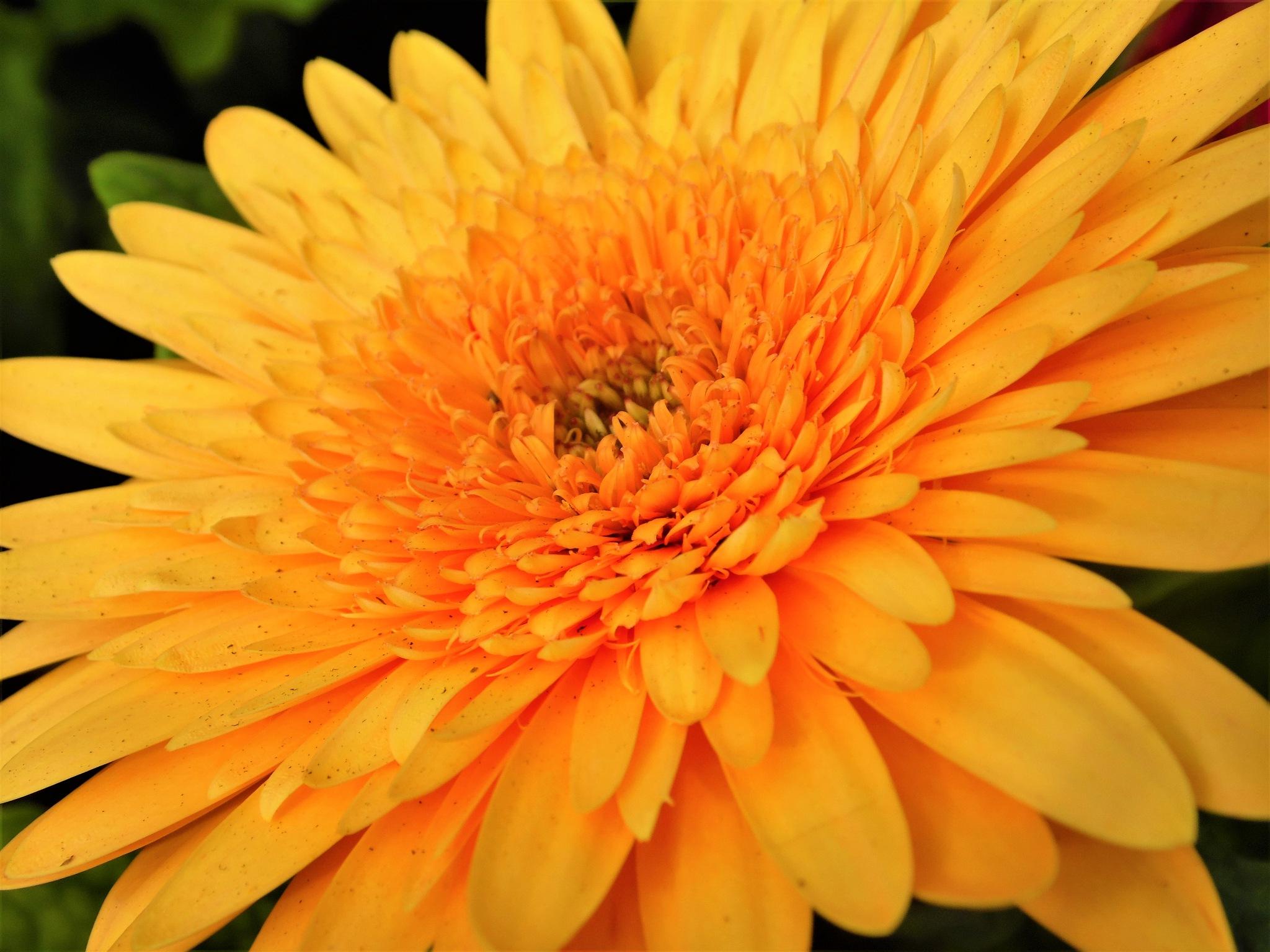Explosion of sunshine petals by Sandra Wright
