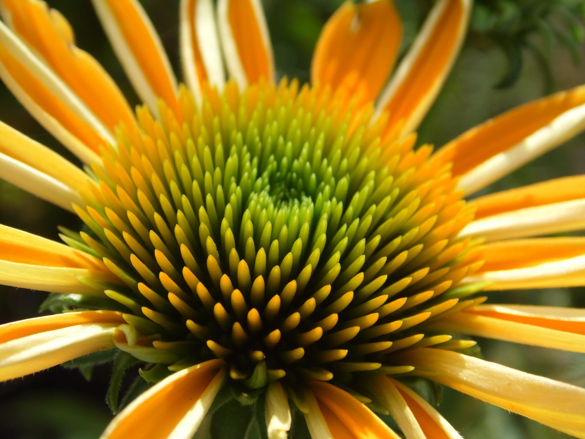 Cheery daisy by Sandra Wright