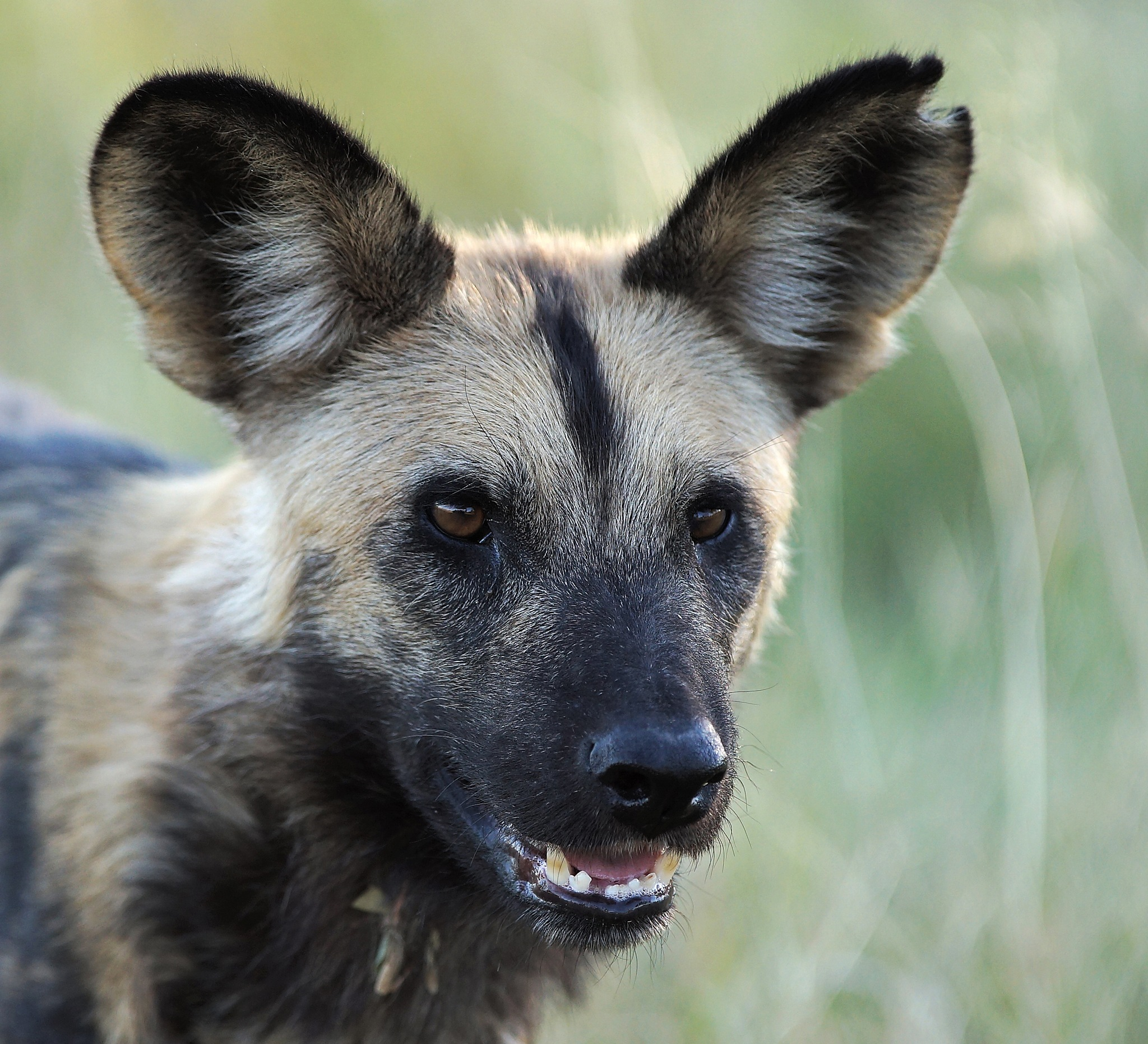 African Wild Dog - Concentrated ... by RenéBaldinger