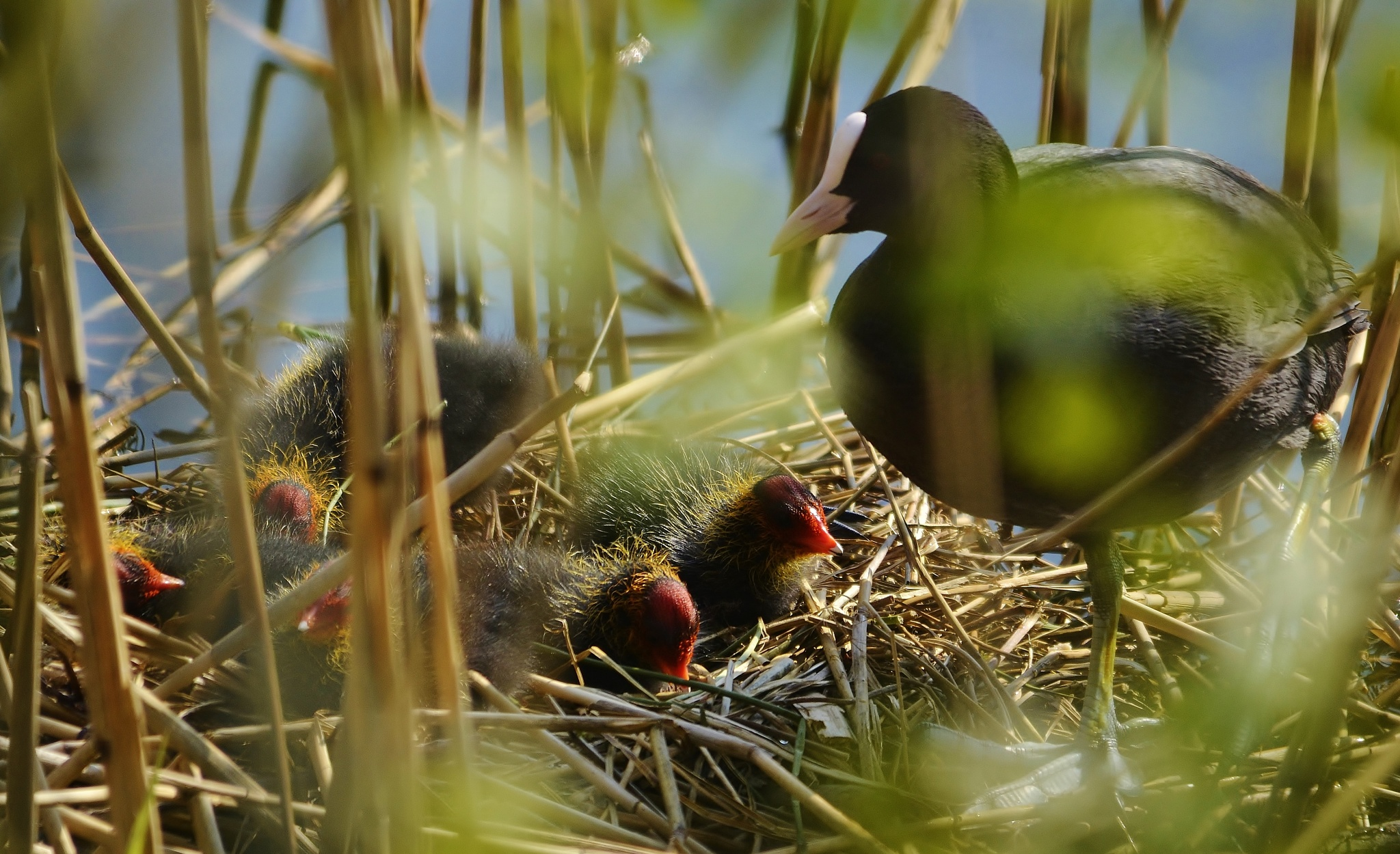 Coot feeding it's chicks... by magnaphotography