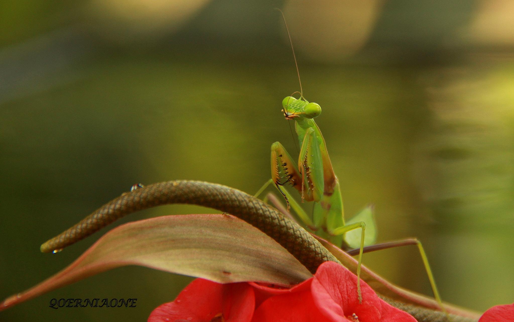 Mantis Religiosa My Model 1 by Kurniawan Wachid