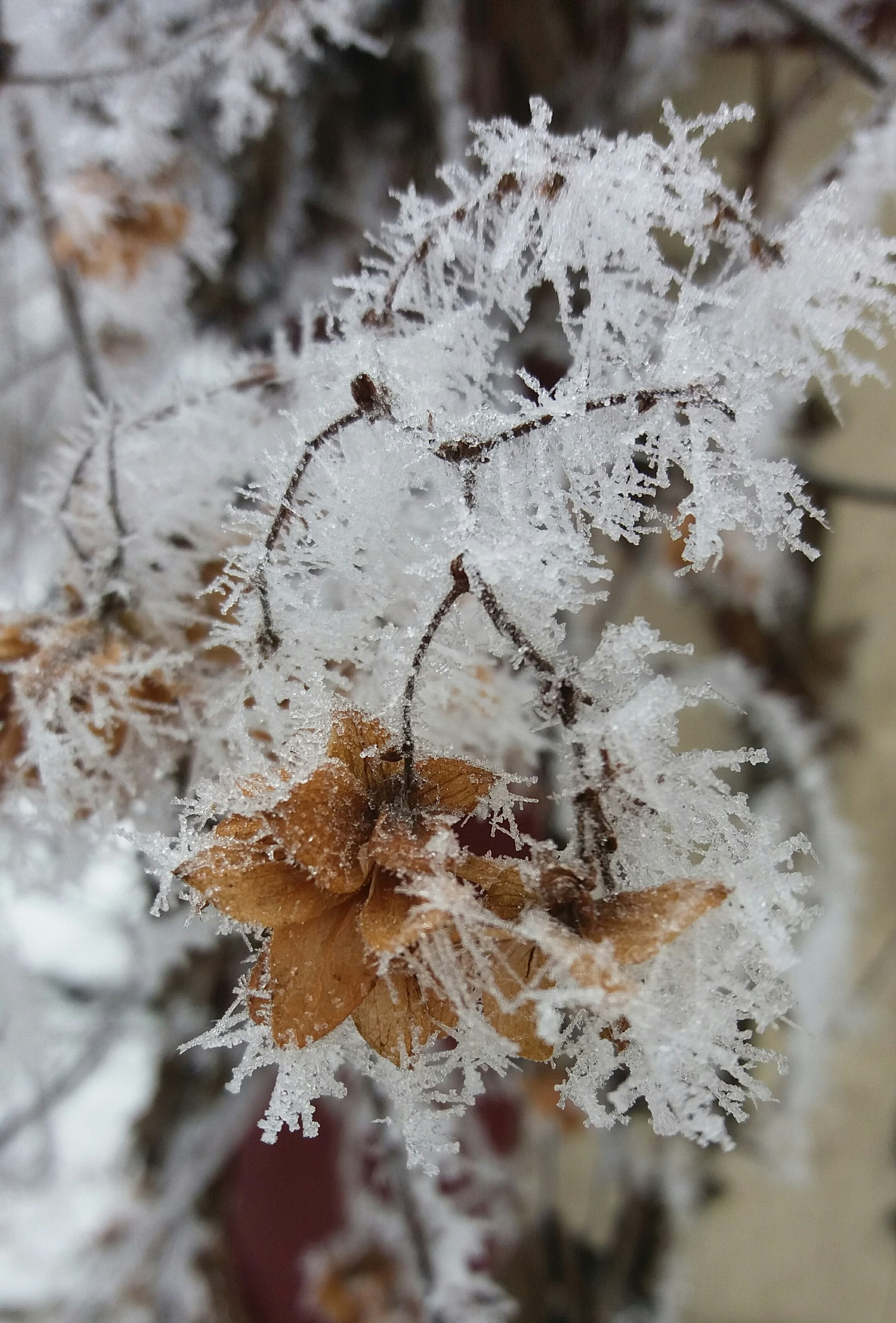 Frosted humulus  by Trude