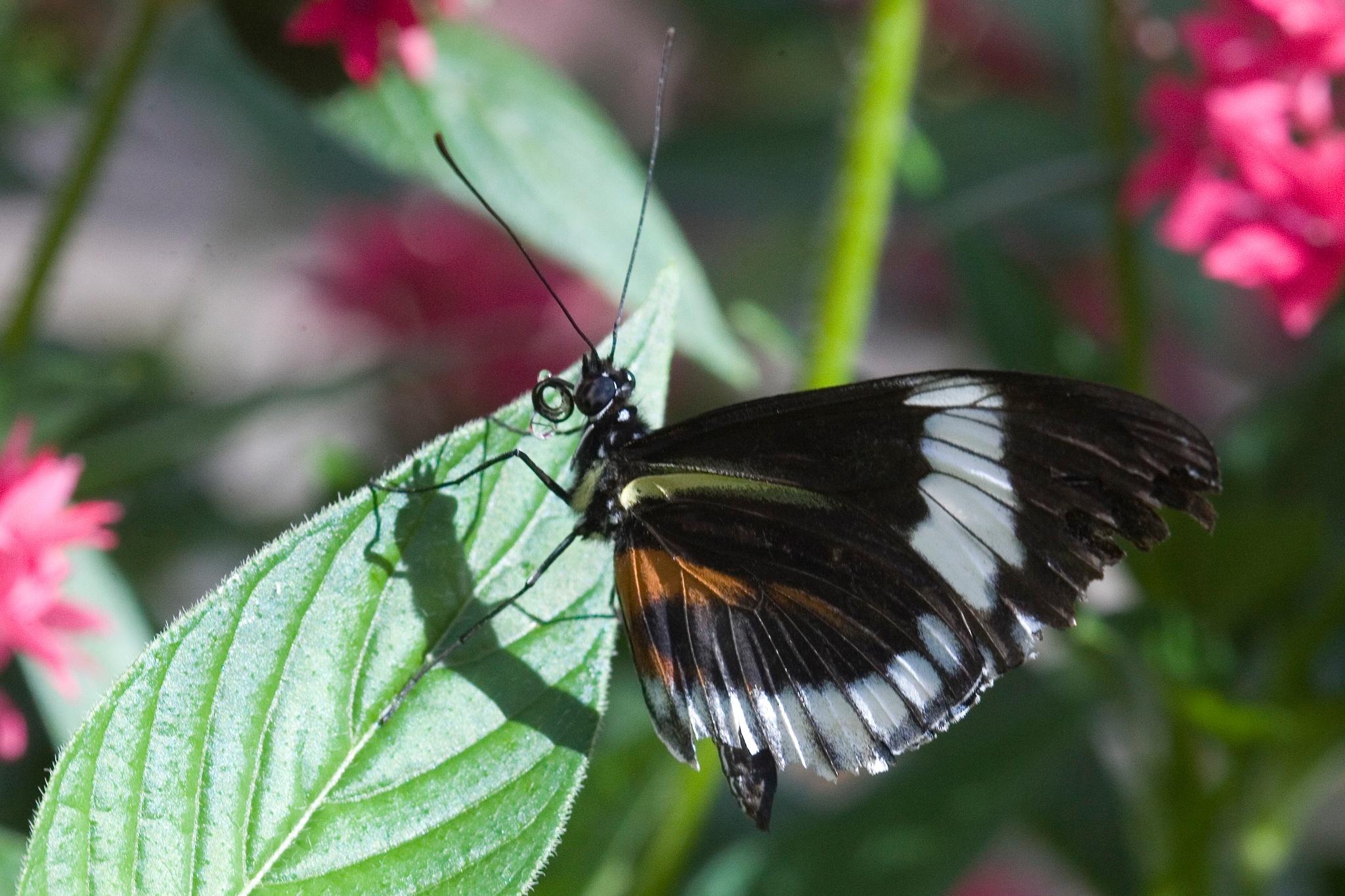 black, white, orange butterfly close up by Bernard Mordorski