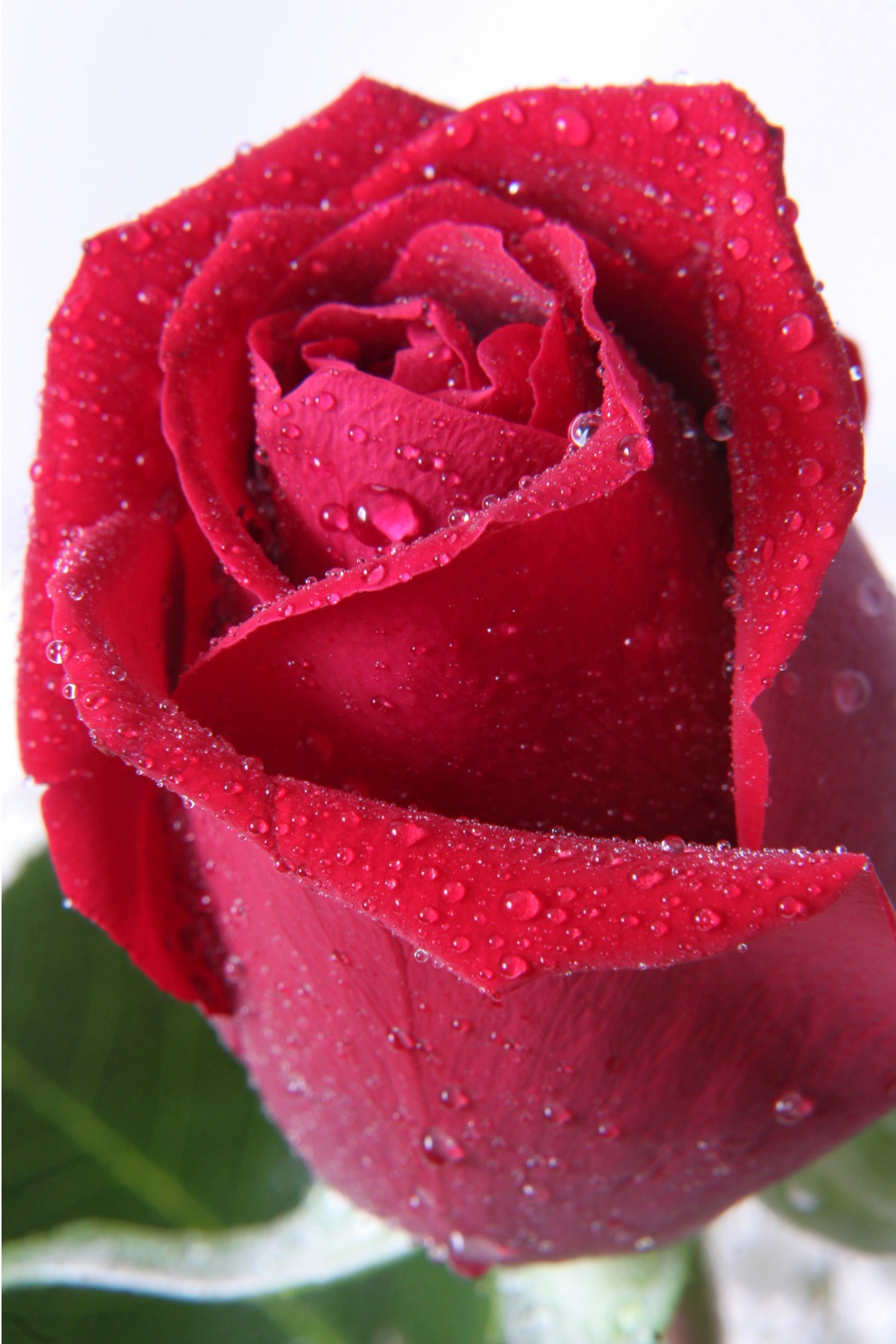 red rose with dew by Bernard Mordorski
