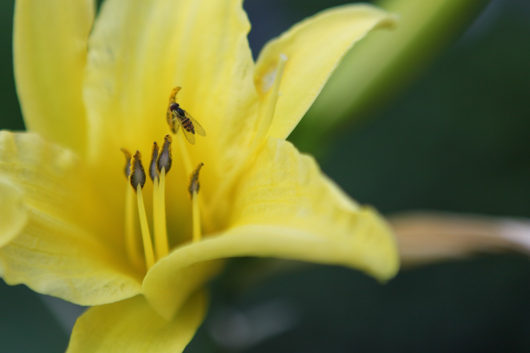 close up yellow lily and bee by Bernard Mordorski