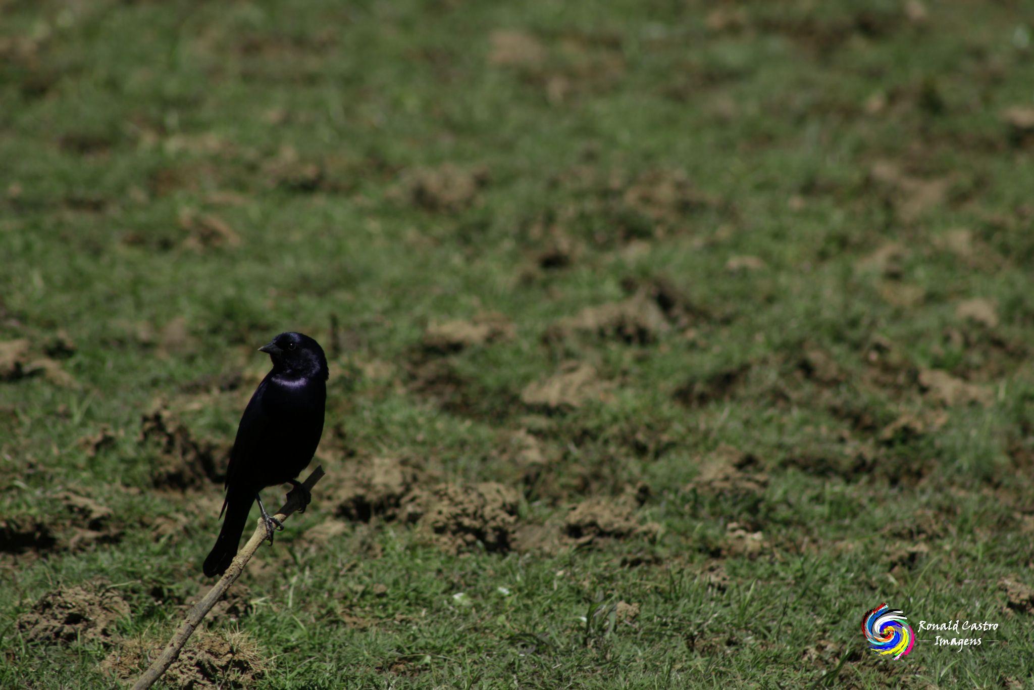 A ave que não faz ninho by Ronald Castro