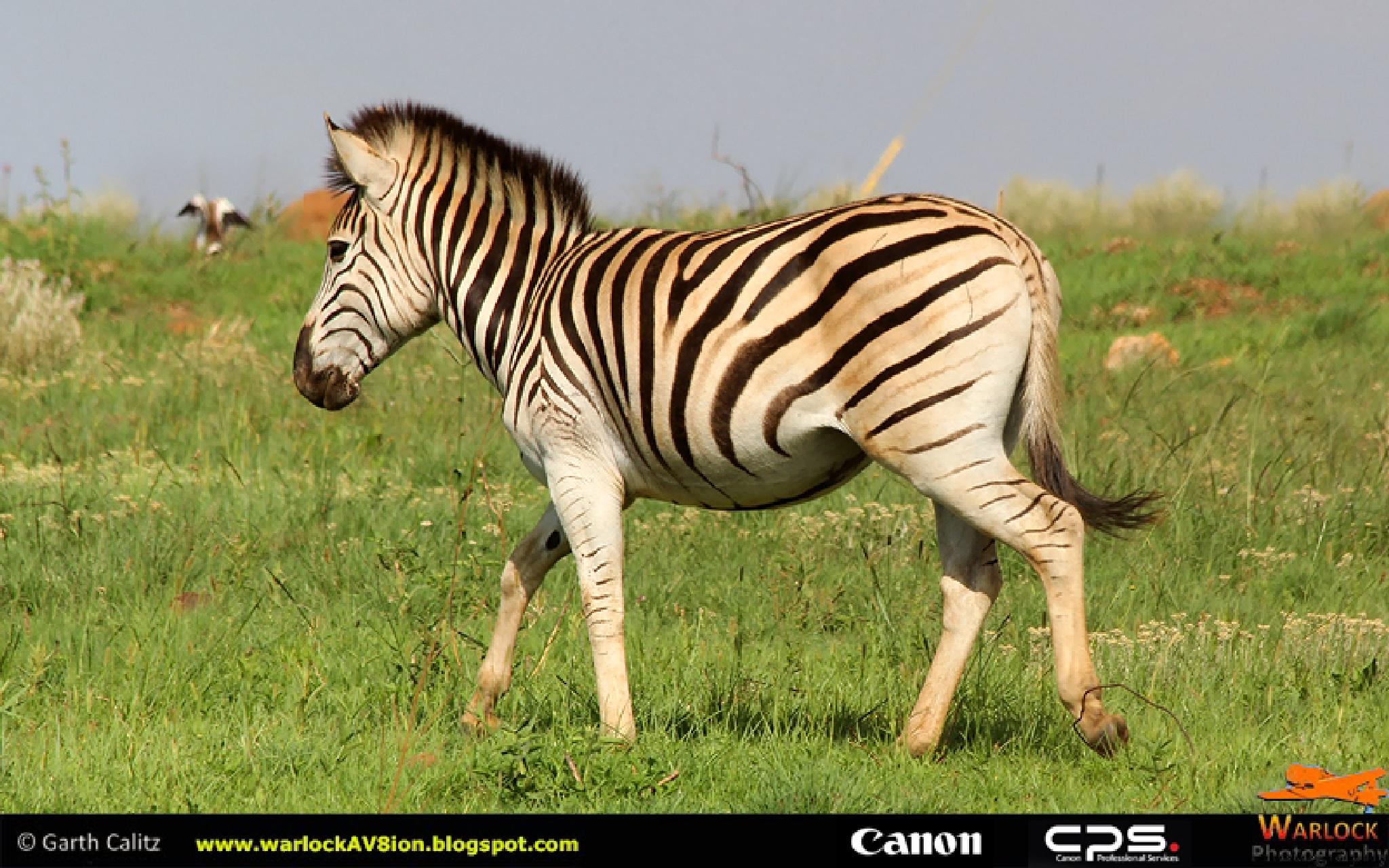 Zebra crossing by Warlock Av8ion