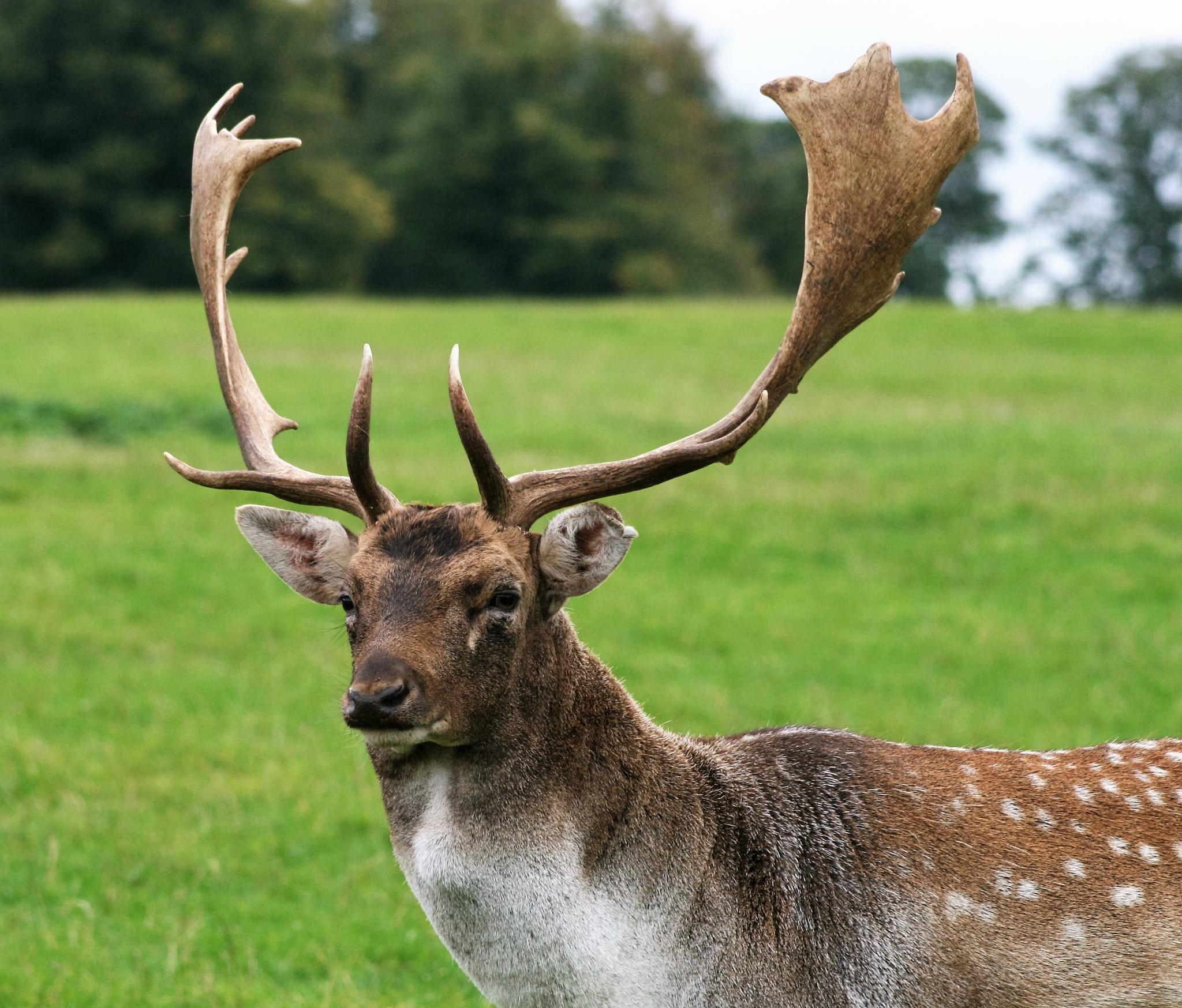 Fallow Deer Buck by William J Rees