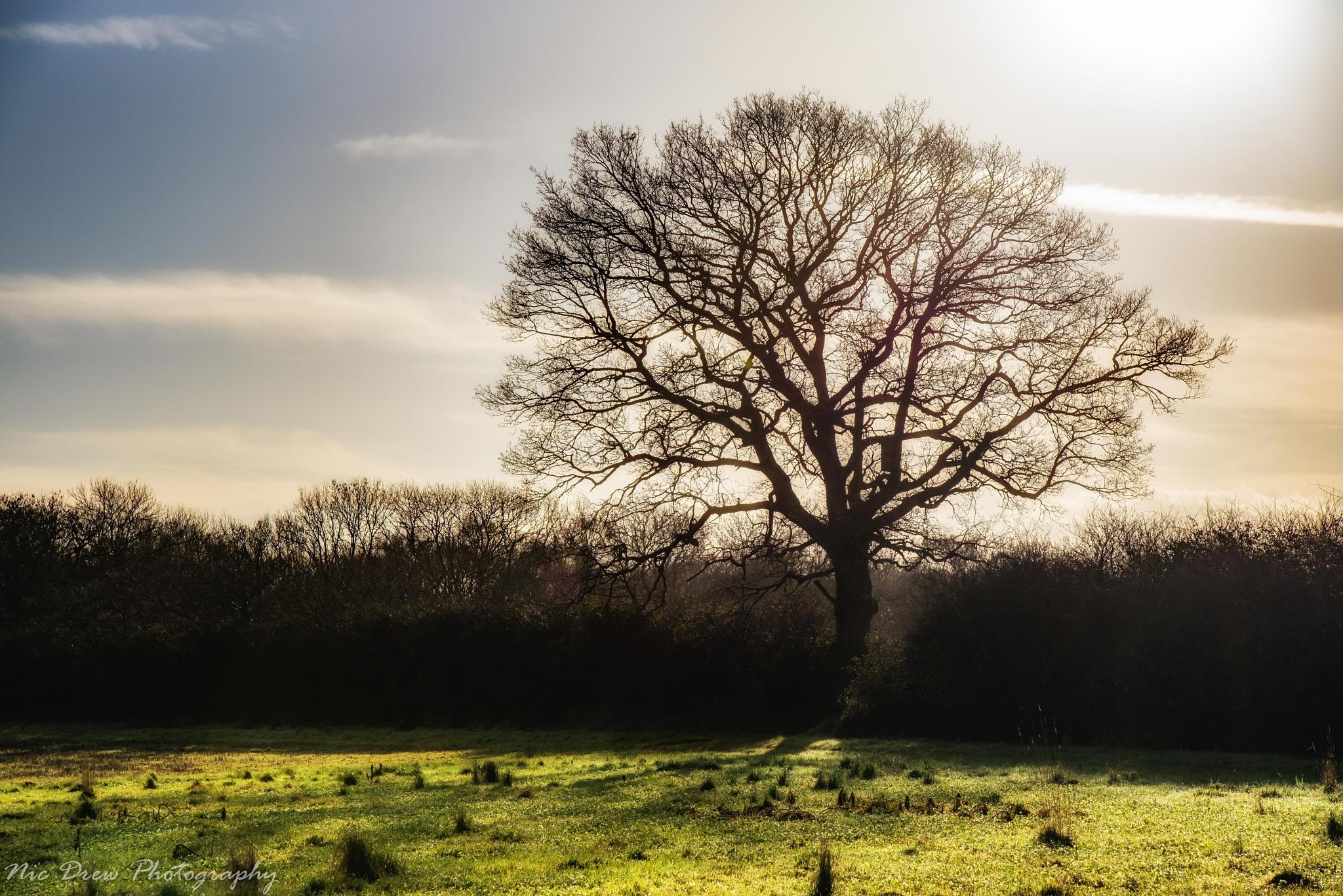 Winter tree by Nic Drew