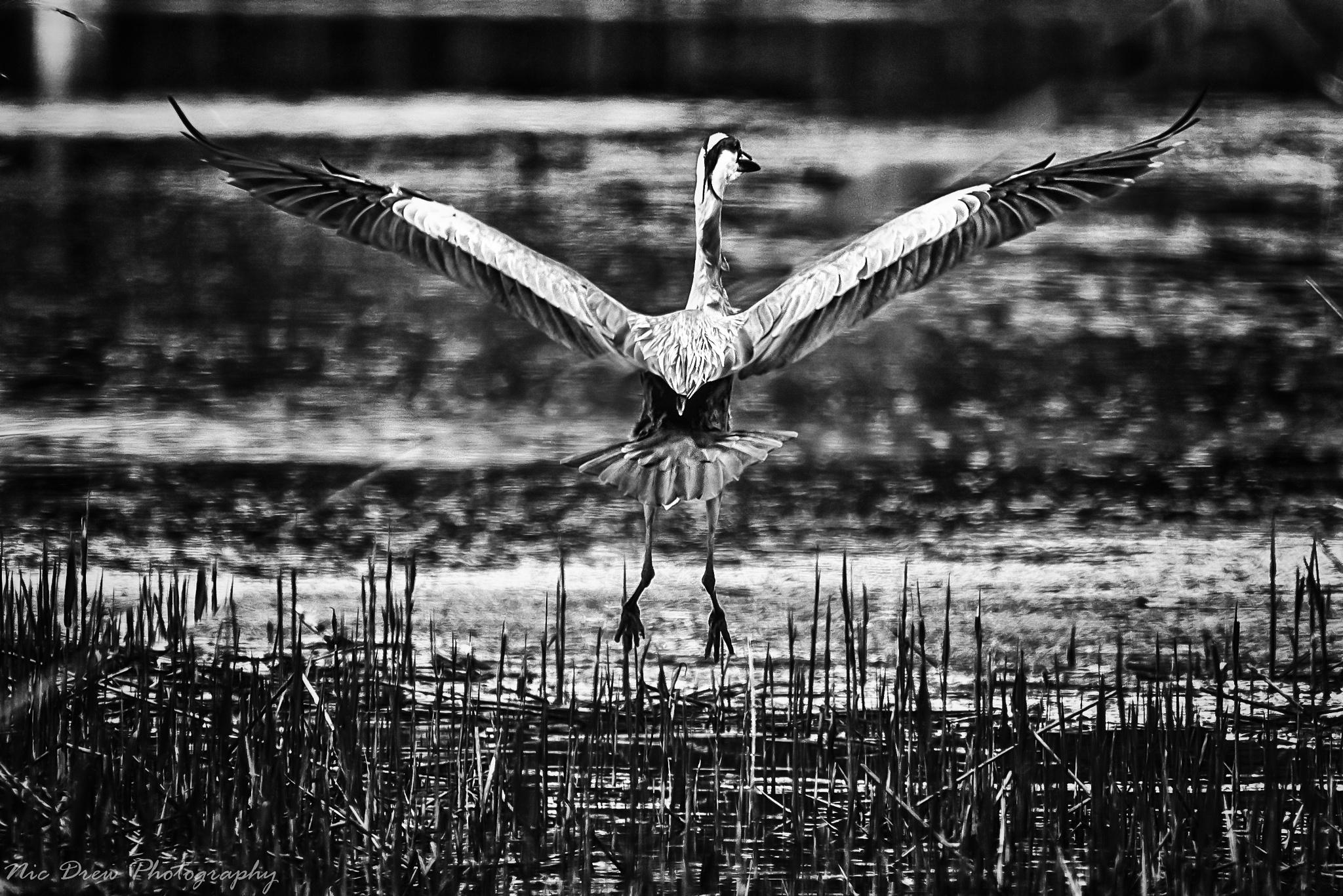 Photo in Animal #heron #flight #black and white #silver efex pro 2