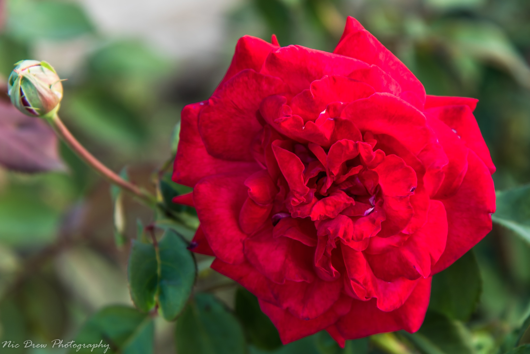 Flower 2 by Nic Drew