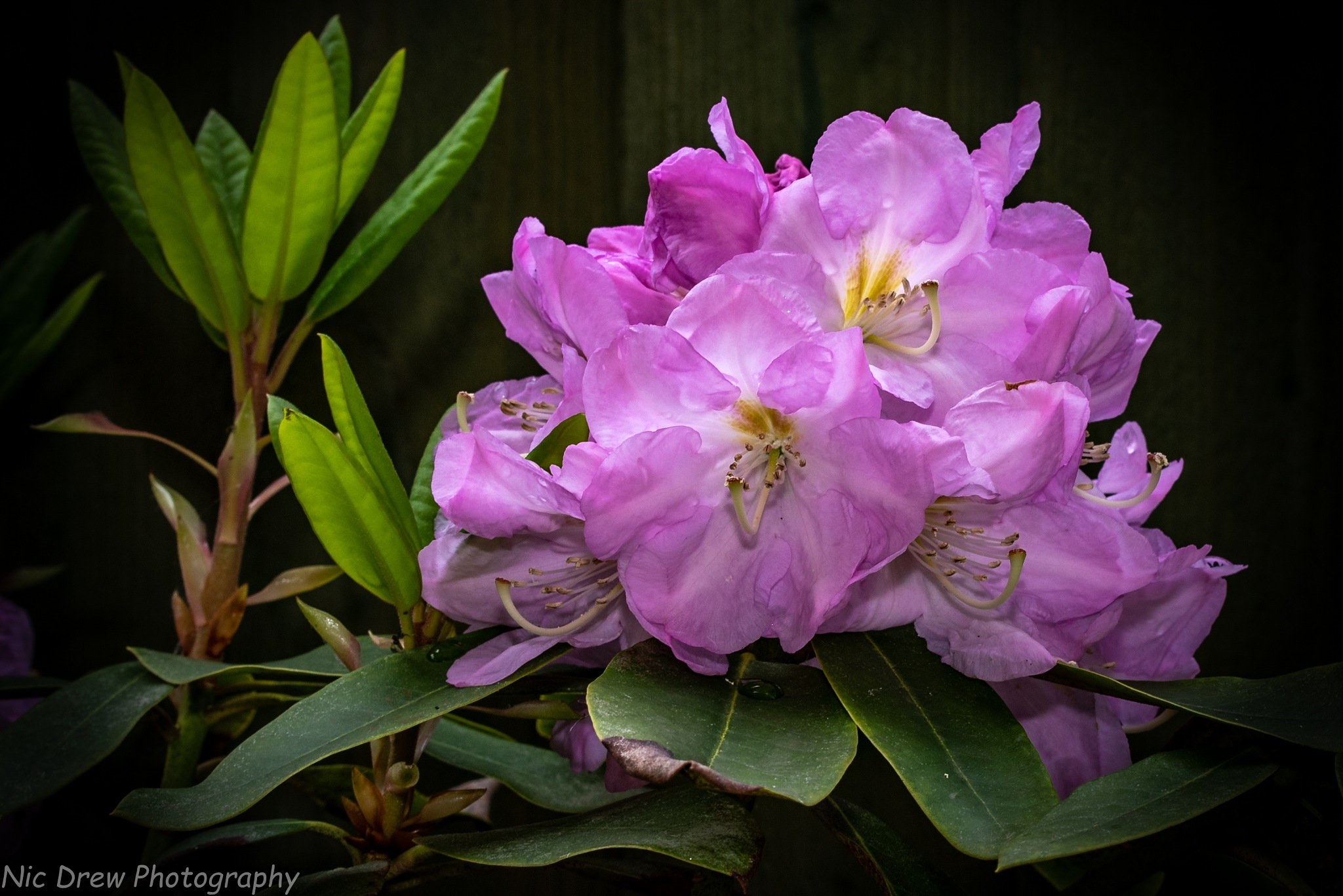 Rhododendron by Nic Drew