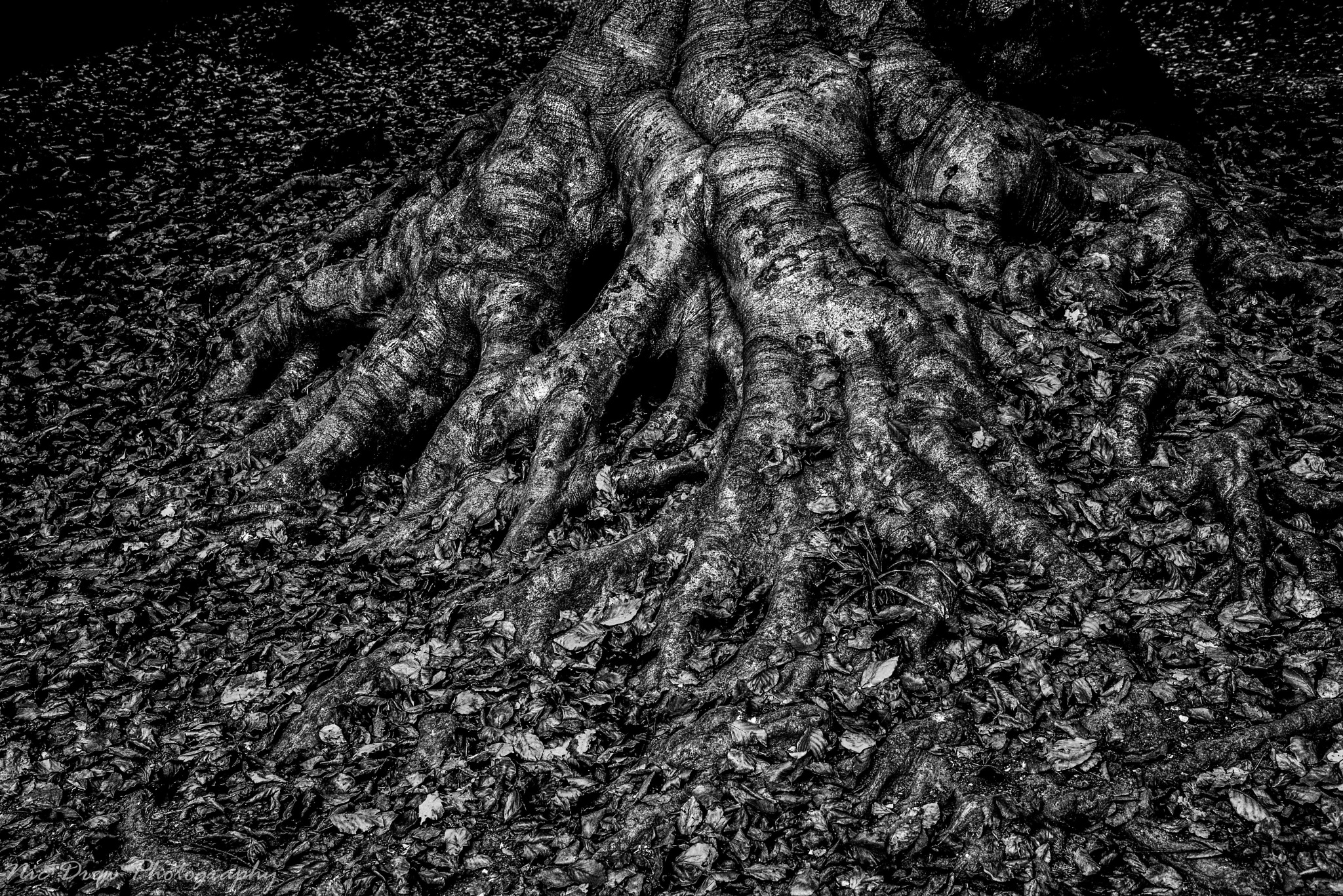 Tree roots by Nic Drew