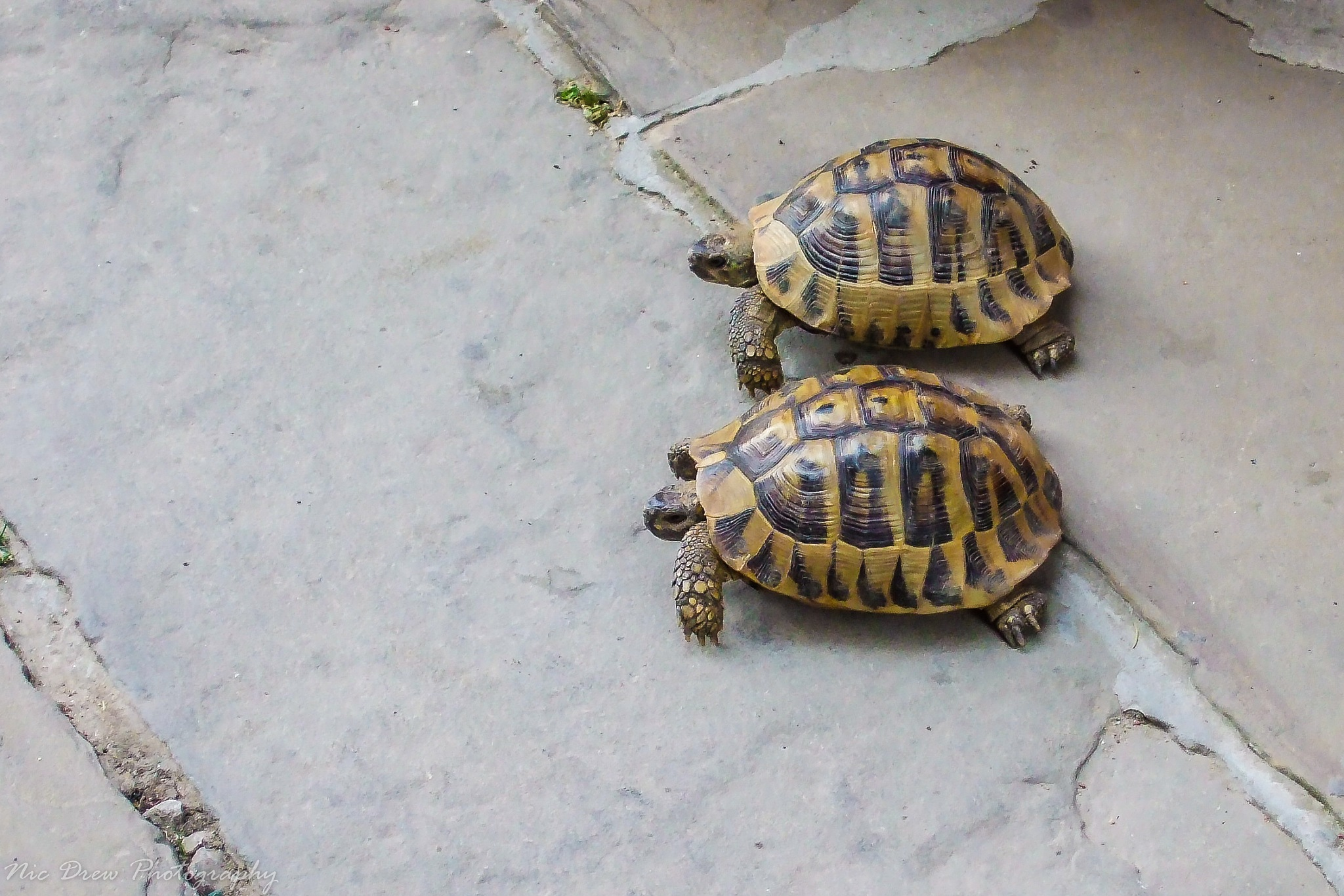 Racing tortoises by Nic Drew