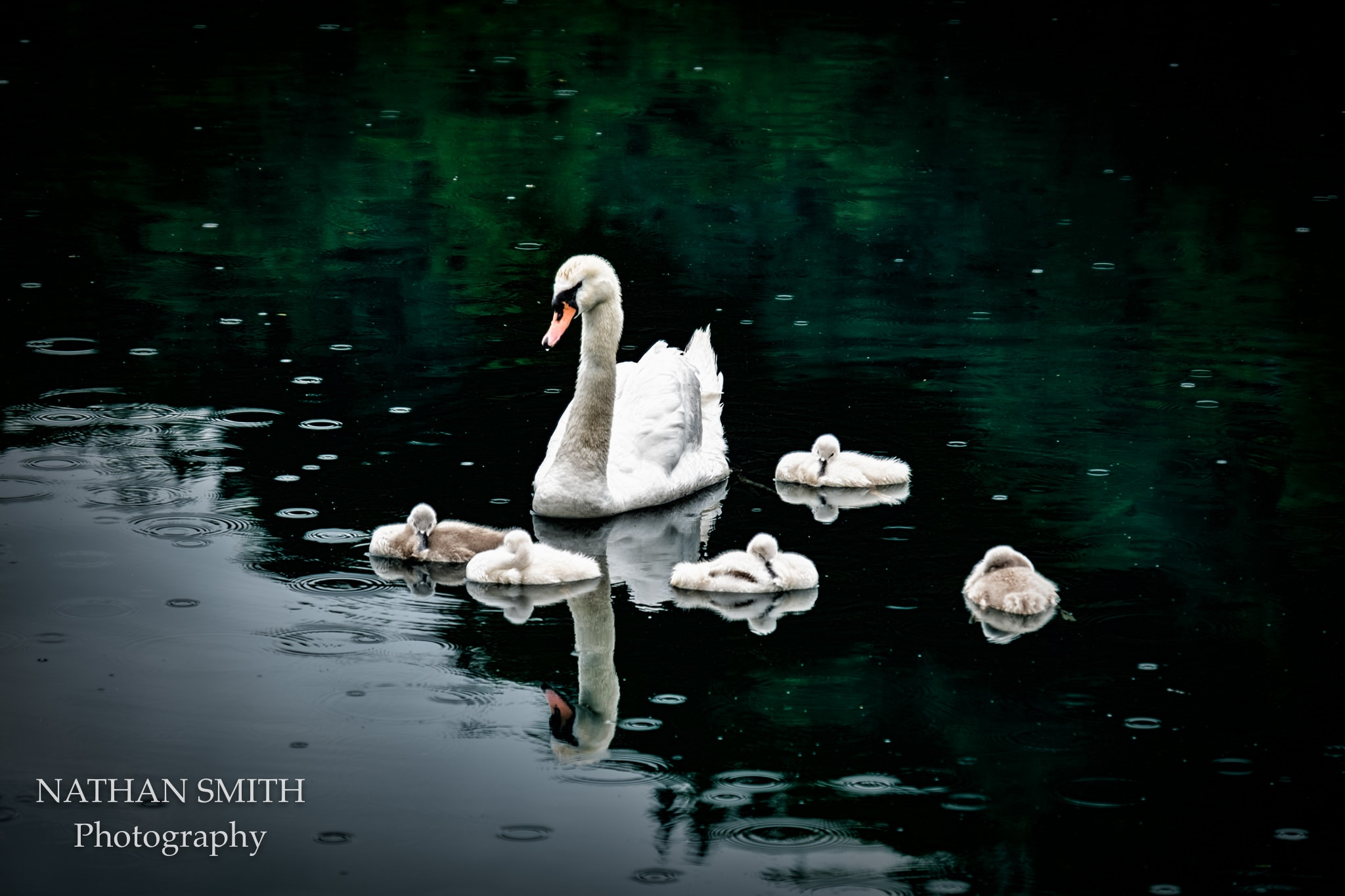Baby swans with Mom by nathansmith