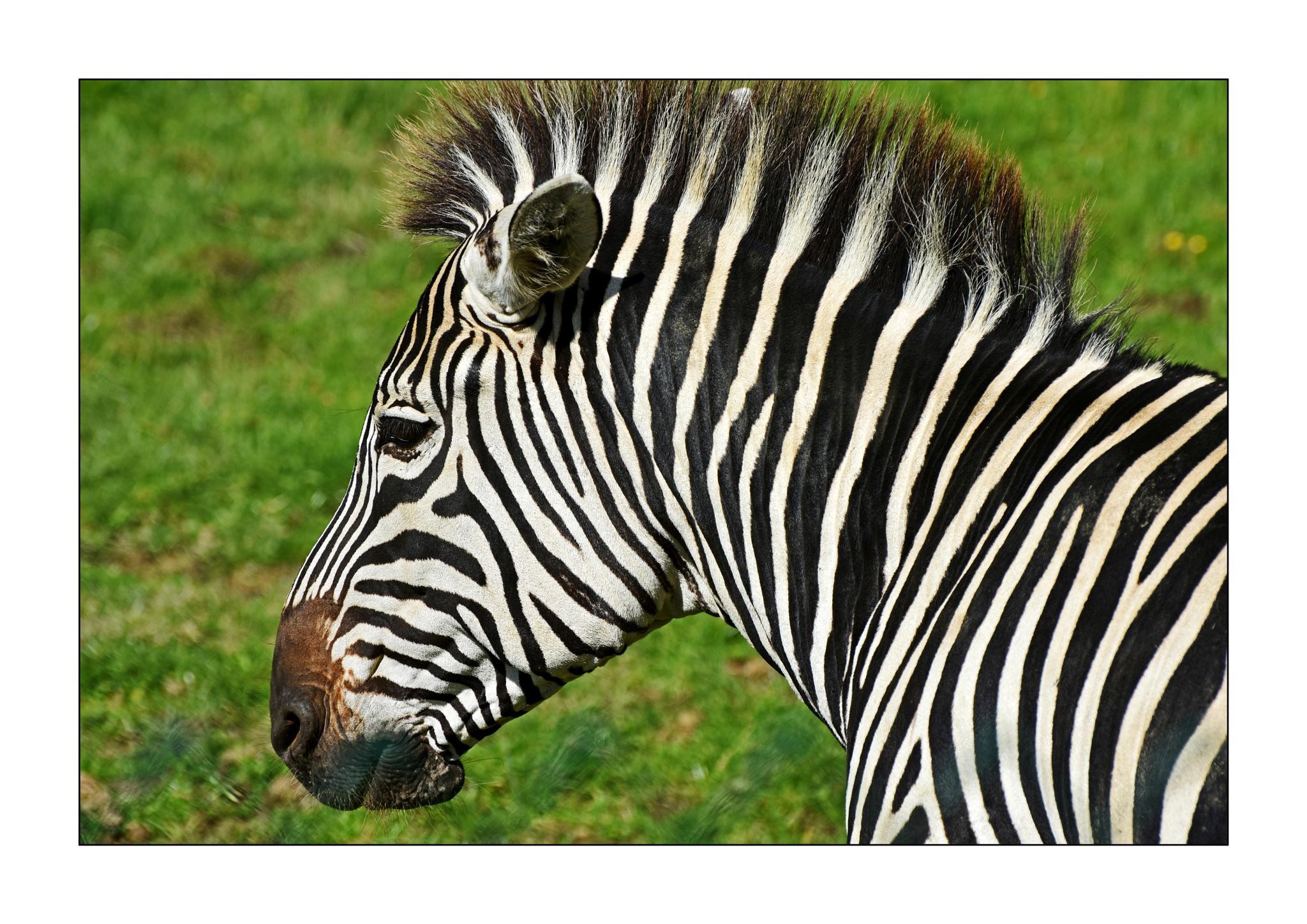 Stripie Donkey by Trevor Robinson