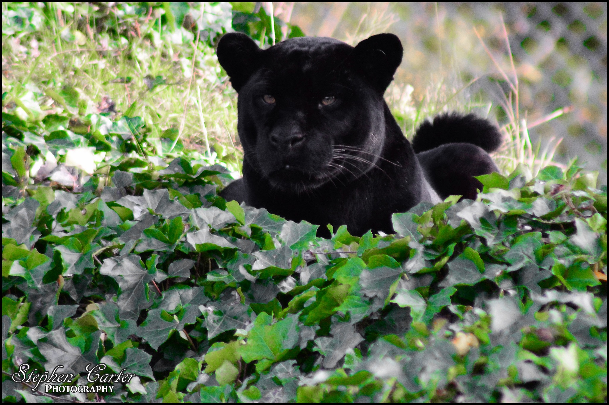 Black Jaguar by Stephen Carter Photography
