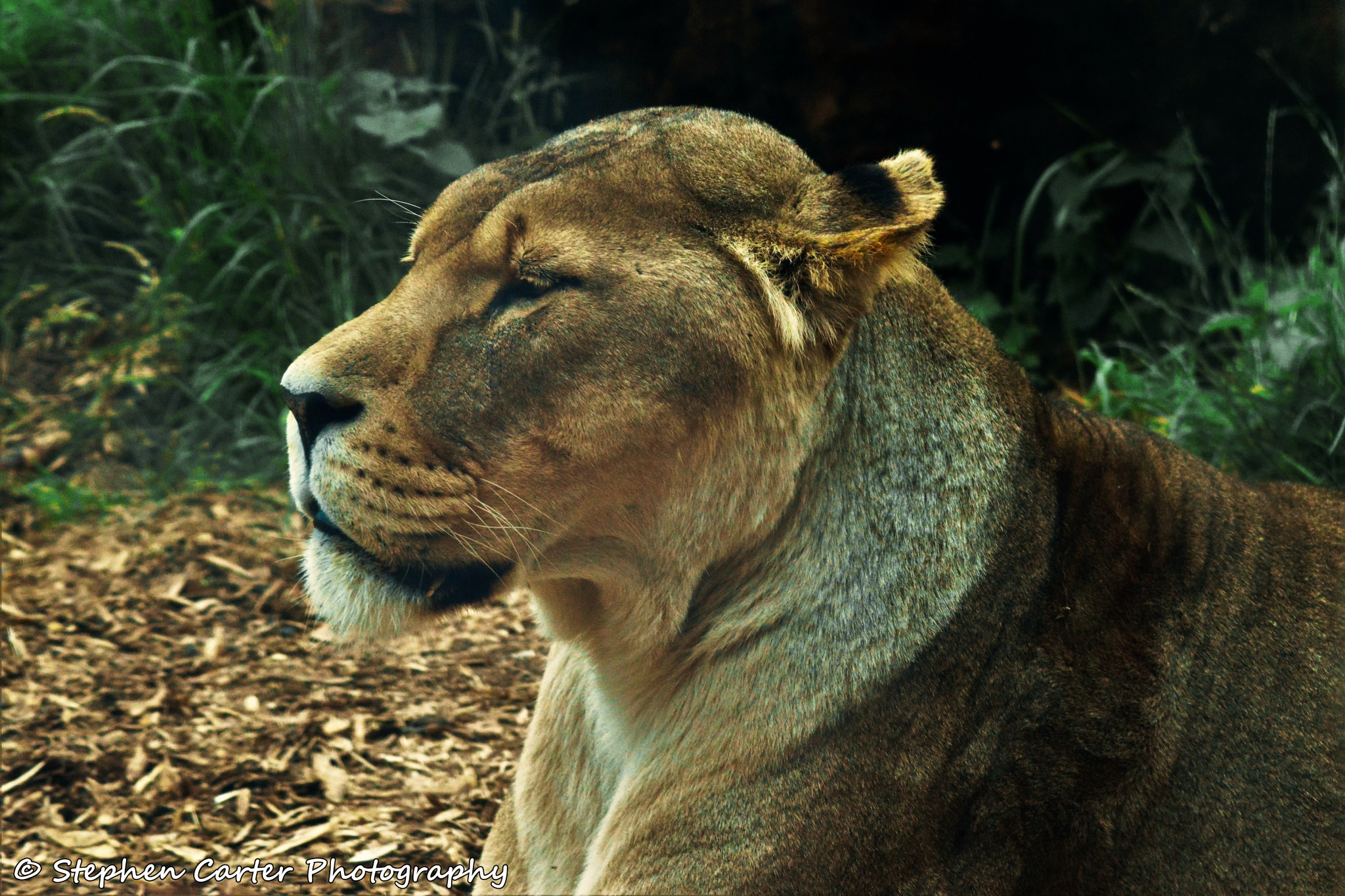 Lioness by Stephen Carter Photography