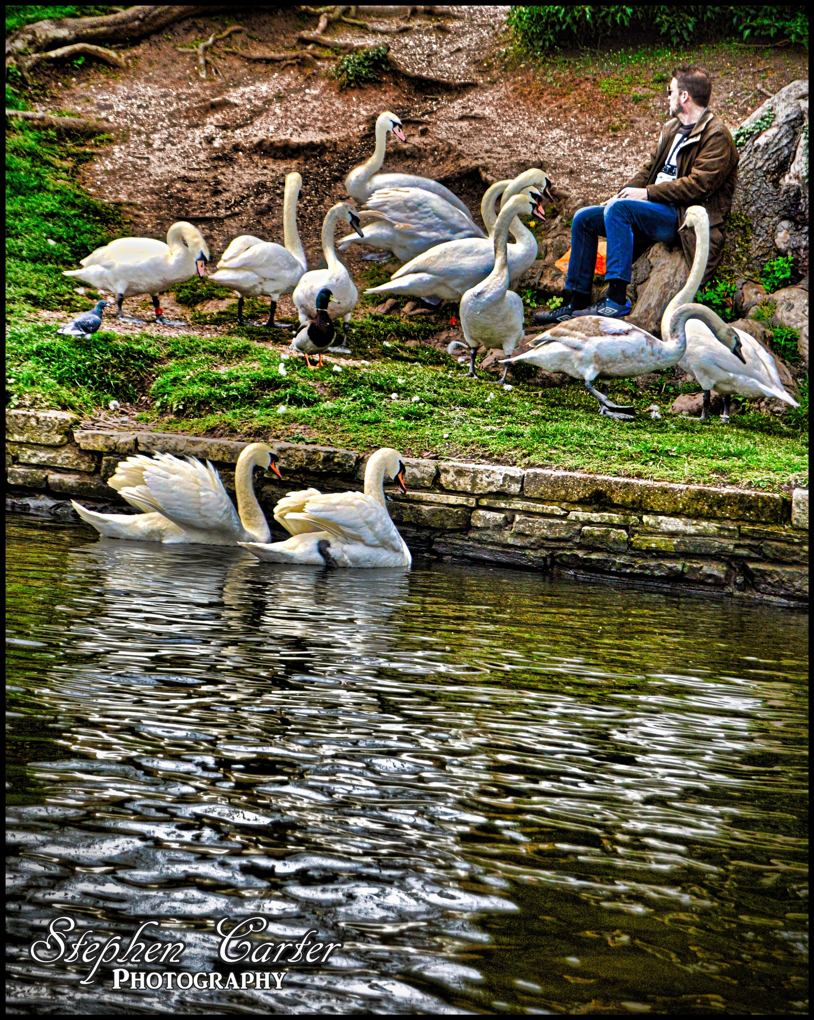Swans by Stephen Carter Photography