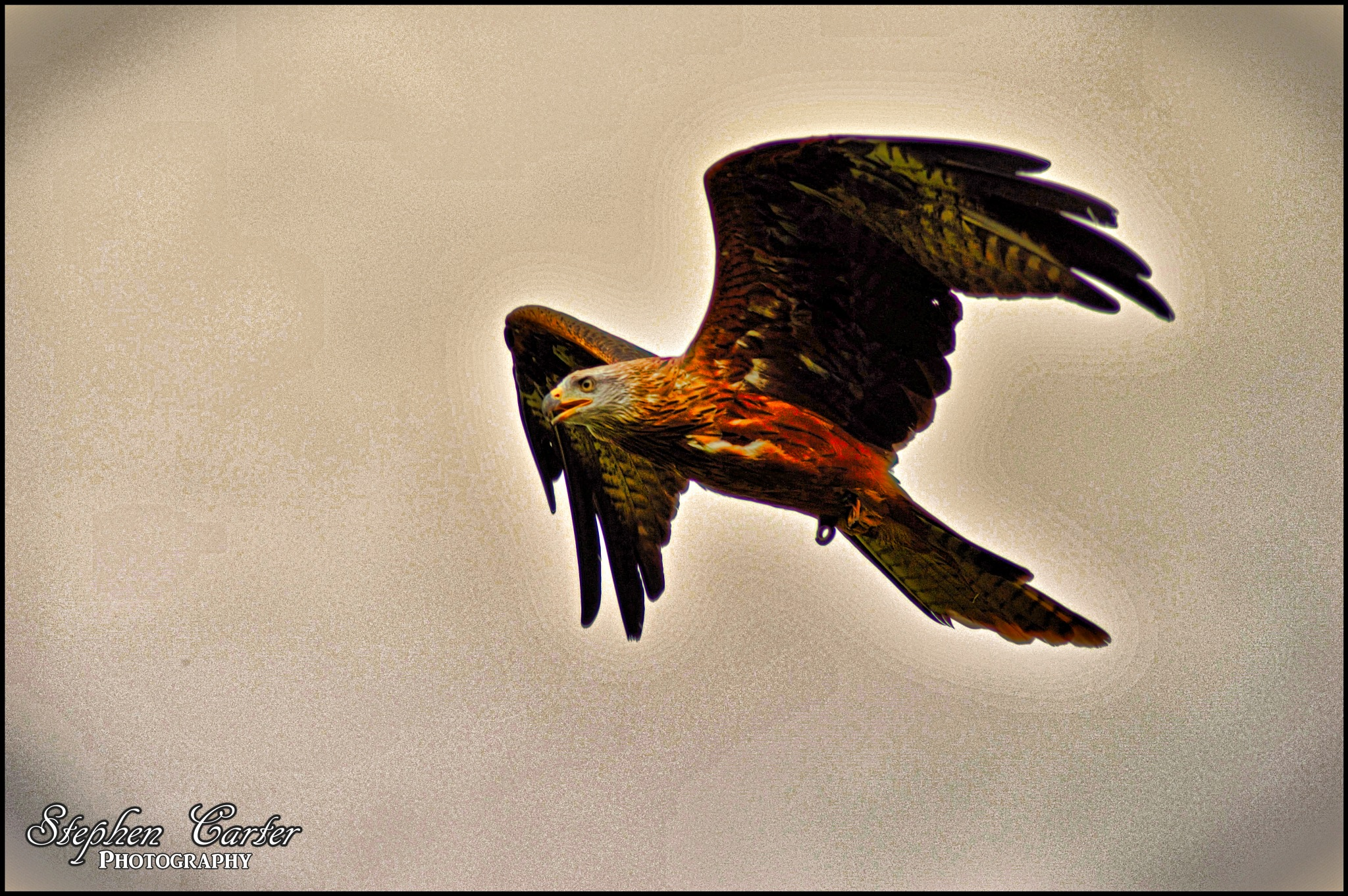 Red Kite by Stephen Carter Photography