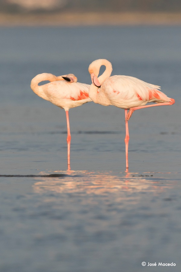 Greater flamingo (Phoenicopterus roseus) by Jose Macedo