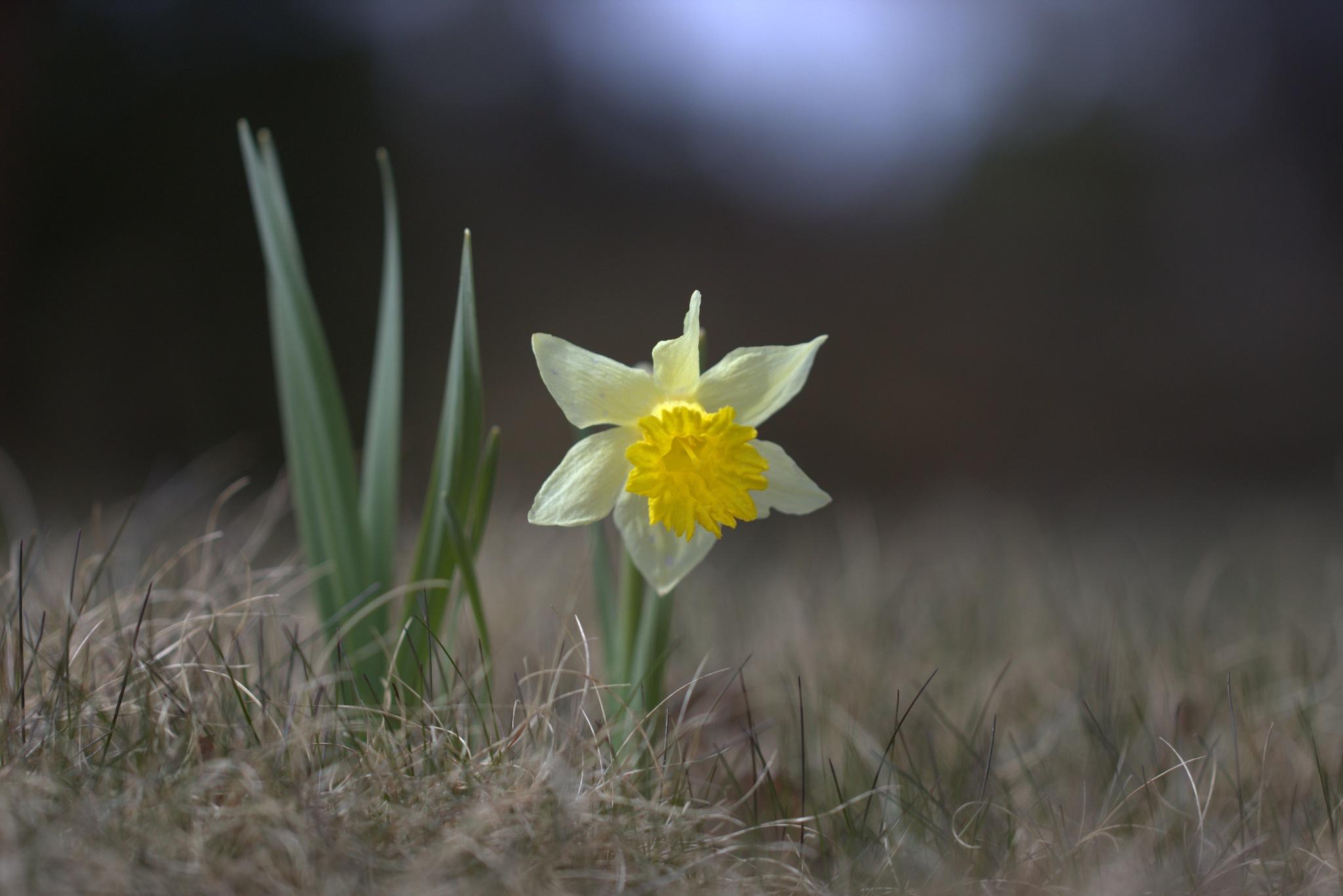Daffodil by ellenlondalenfaller