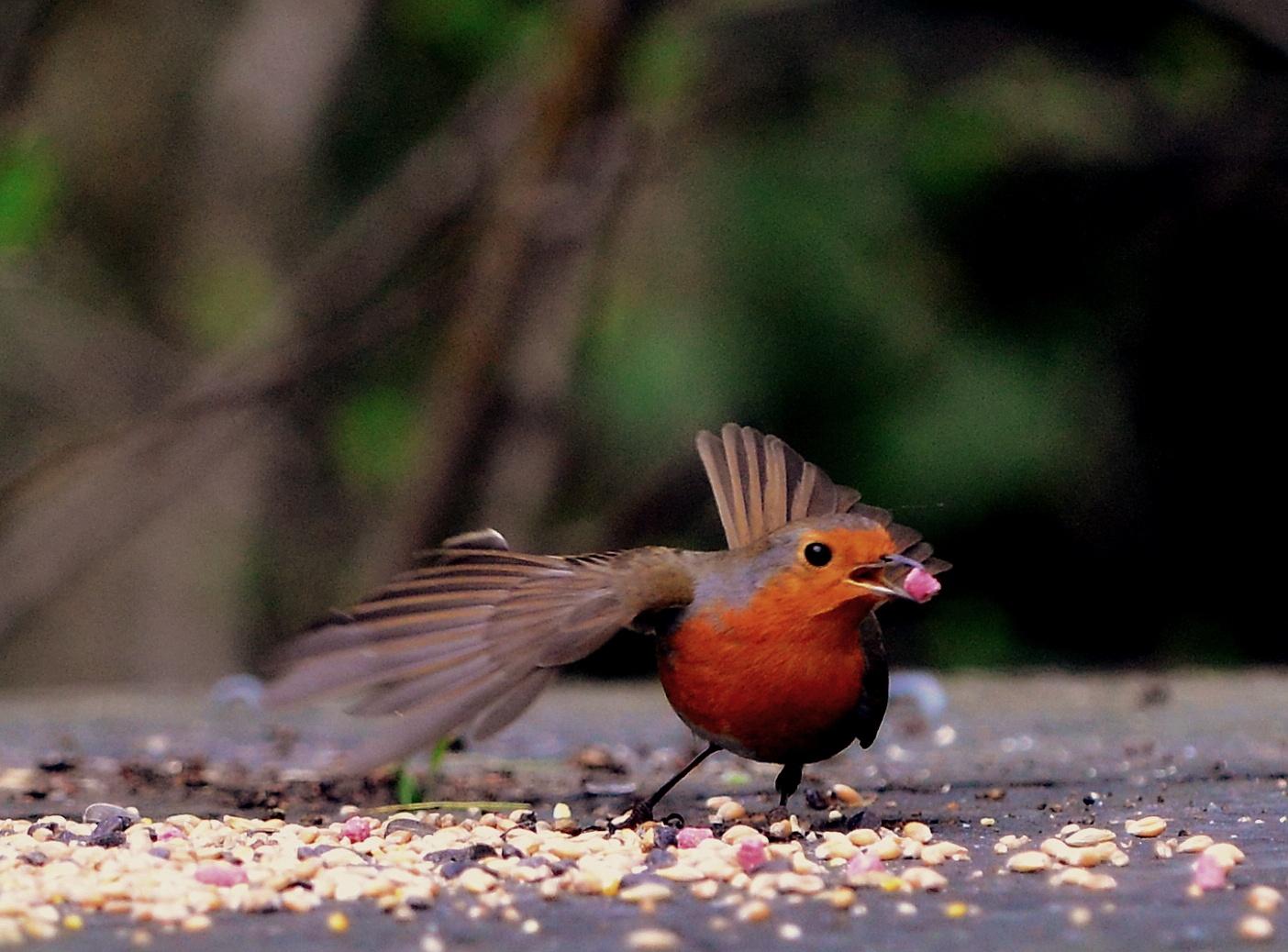 Just a Robin by Chris Brian Hollingworth