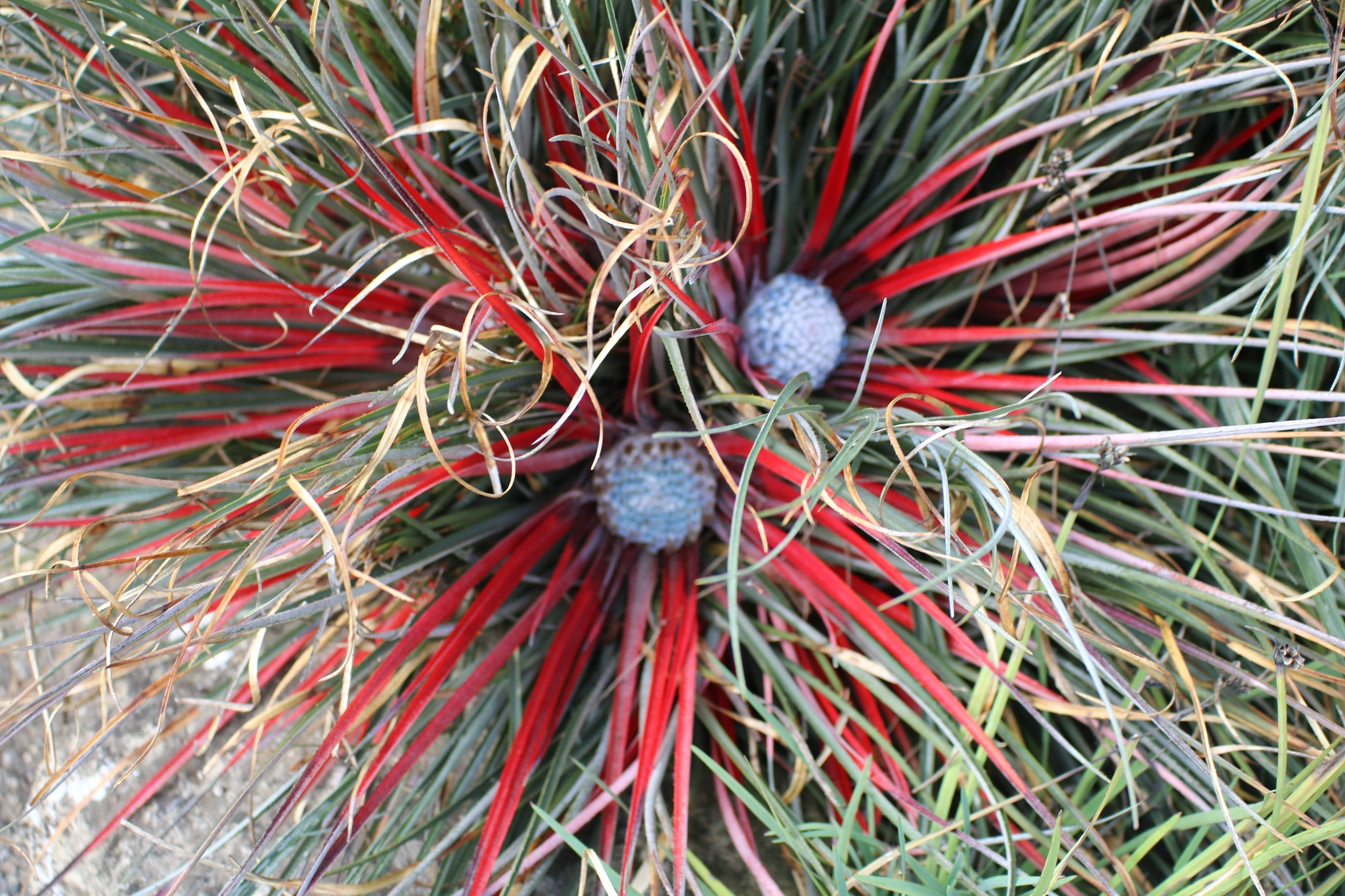 These are not golf balls - what an unusual spider plant. by Mo Dessouki