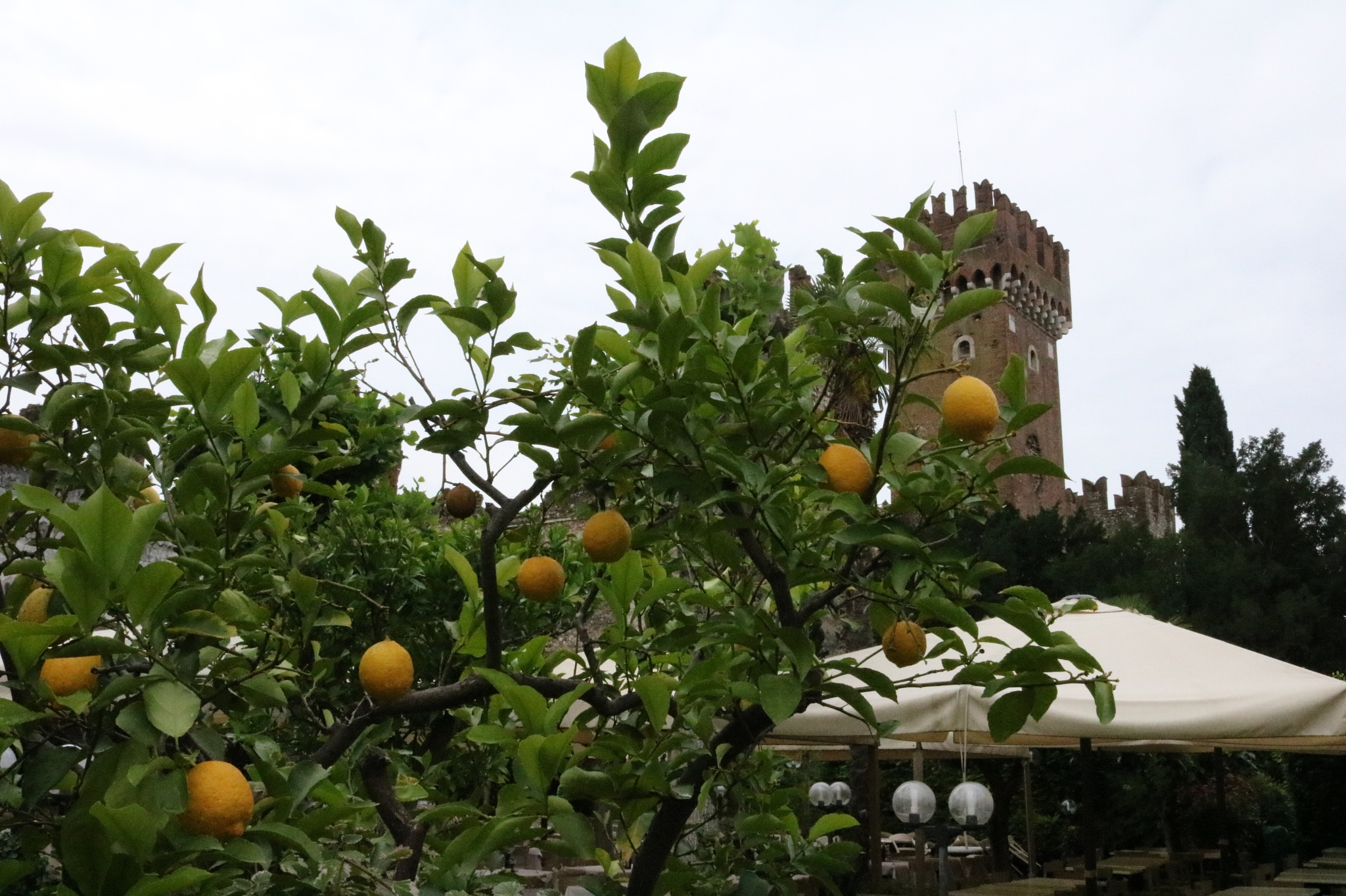 Citrus tree at the back of a Tratoria, Lazise by Mo Dessouki