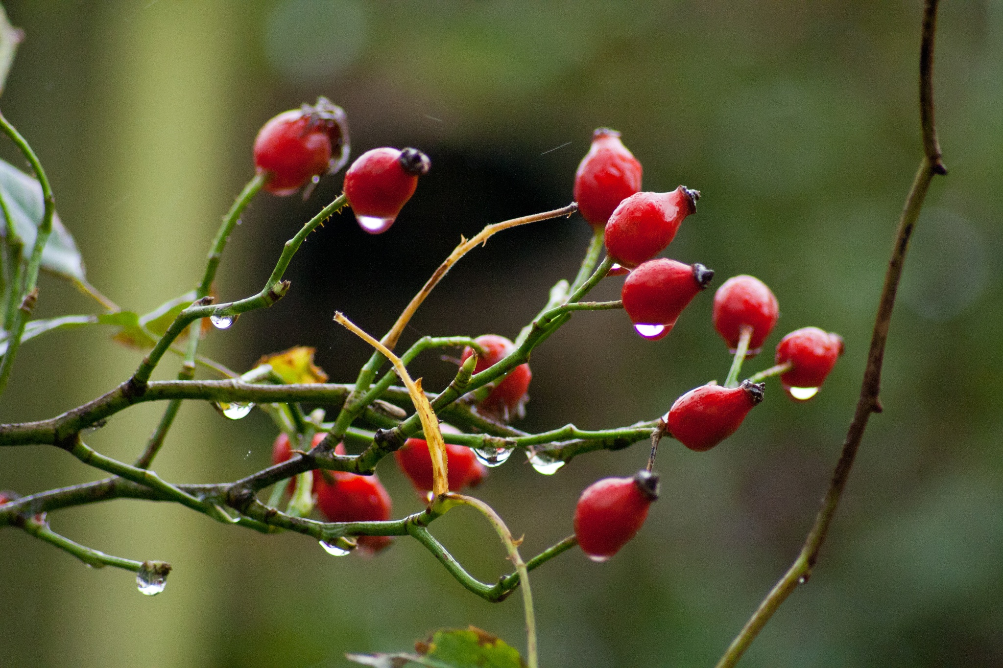Red Berries by Steve Rowe