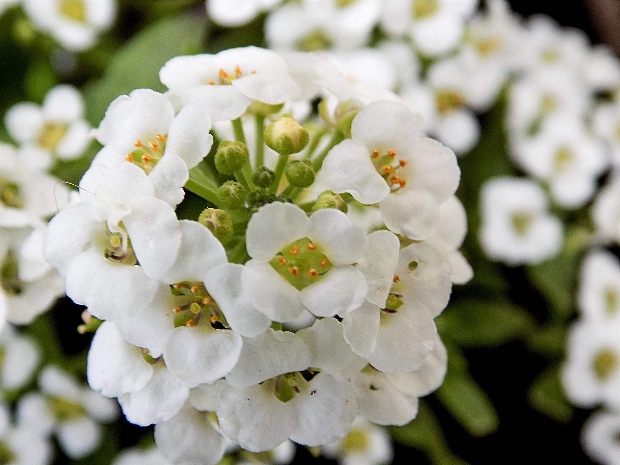 Photo in Nature #flowers #white #bunch #nature #macro