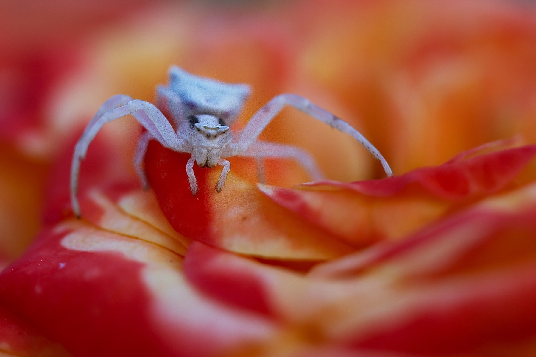 Spider On The Rose by Kassianos Kassianou