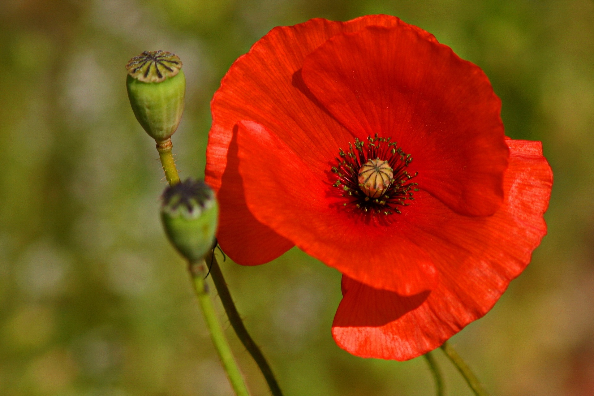 Poppy by Kassianos Kassianou