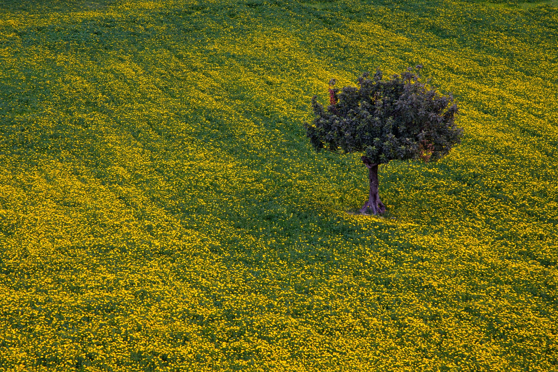 A Field of Yellow Daisies by Kassianos Kassianou