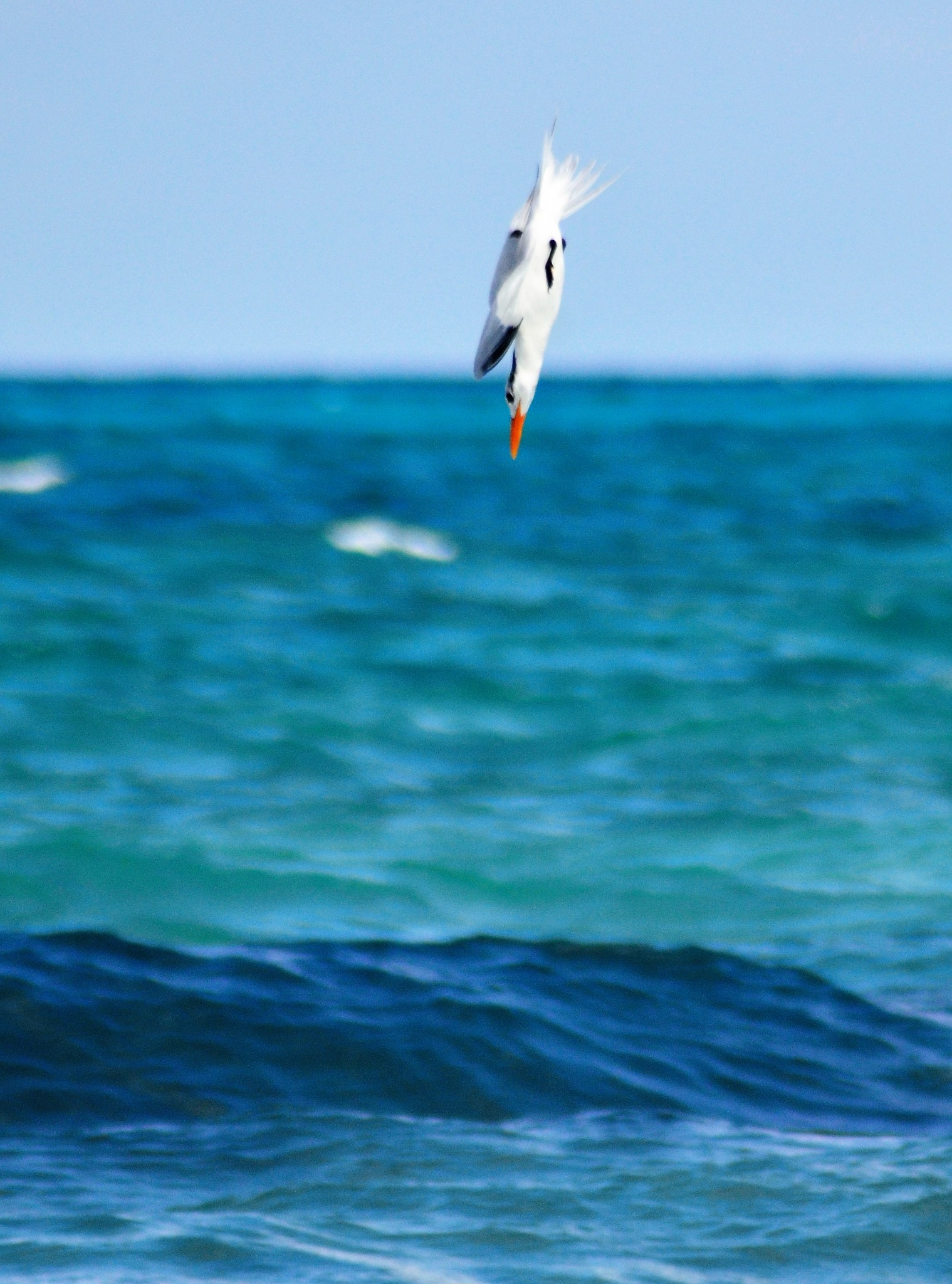 Photo in Animal #seagull #hunter #nature #sea #caribe