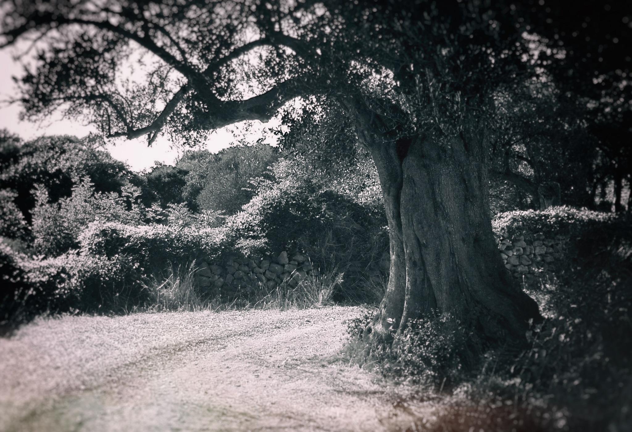 Old olive tree by deya