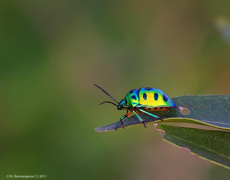 Jewel Bug by Ravinarayana Chakravarthy
