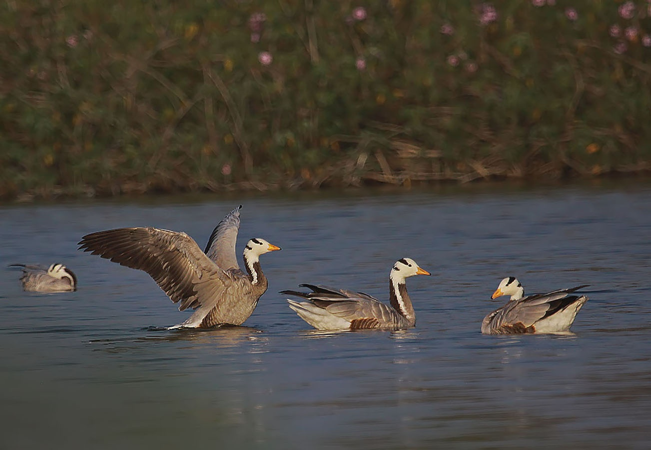 Bar Headed Geese by Ravinarayana Chakravarthy