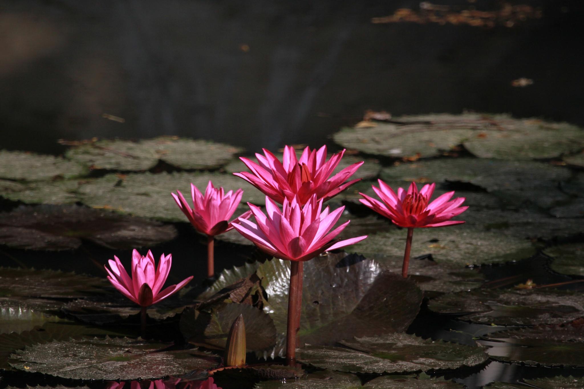 Water Lilies by Ravinarayana Chakravarthy